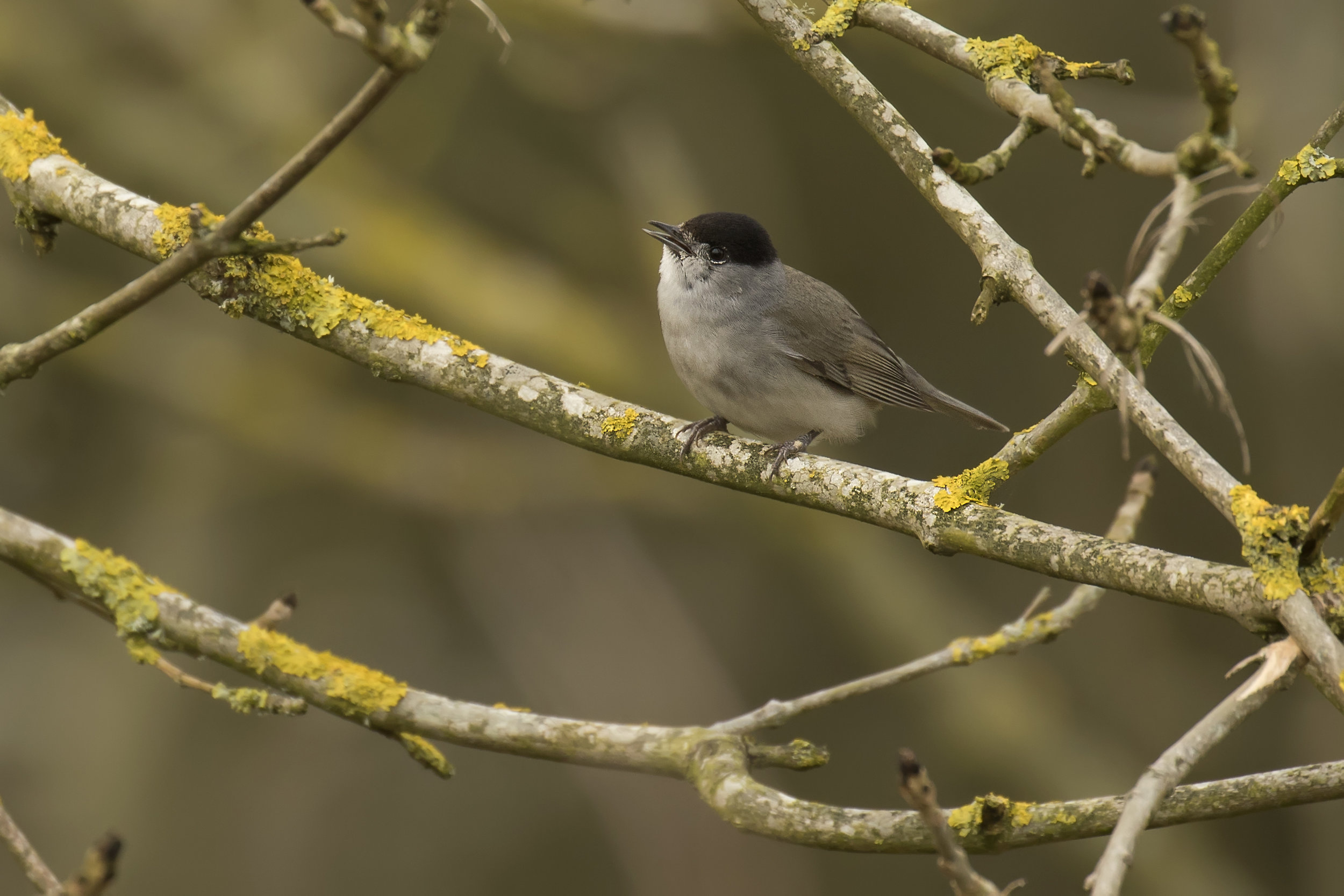 Blackcap 3rd April.jpg