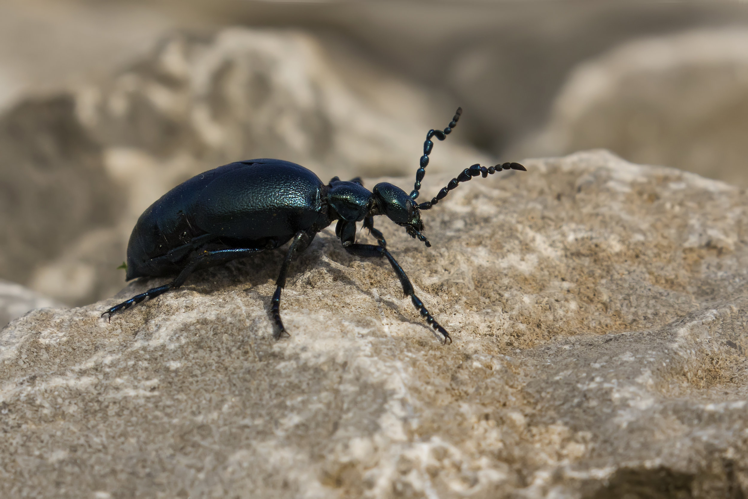 Oil Beetle 3rd April.jpg