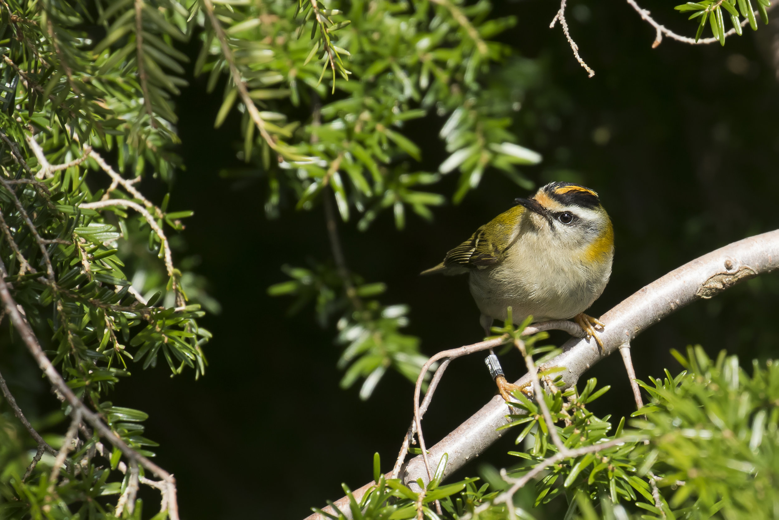 Firecrest 3rd April.jpg