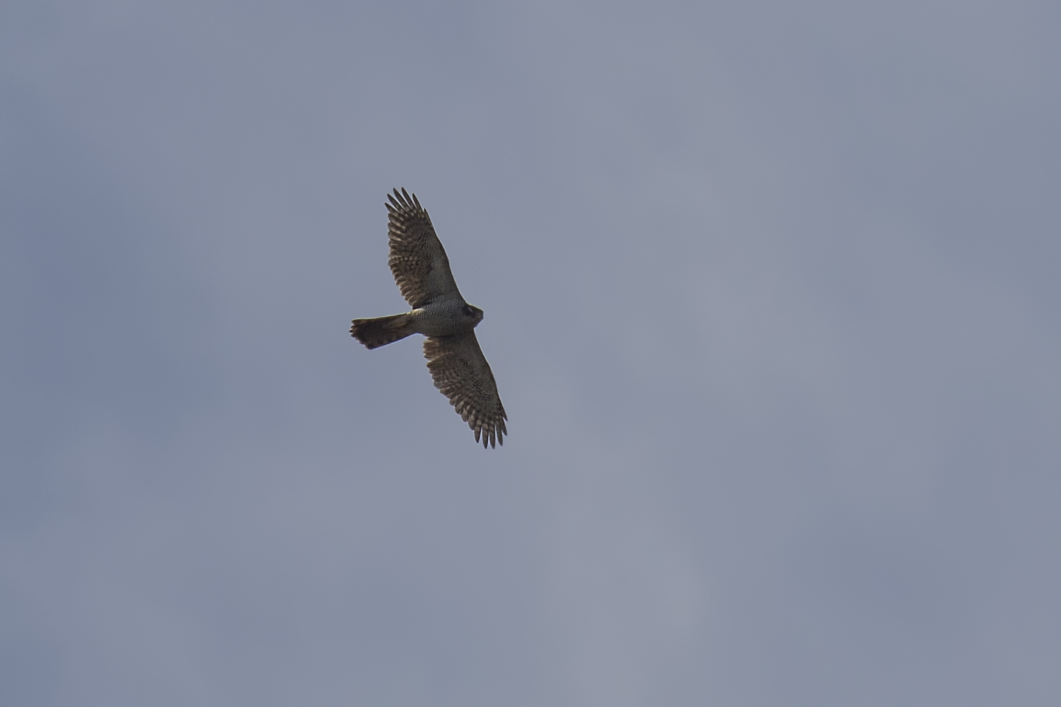 Goshawk 3rd April.jpg