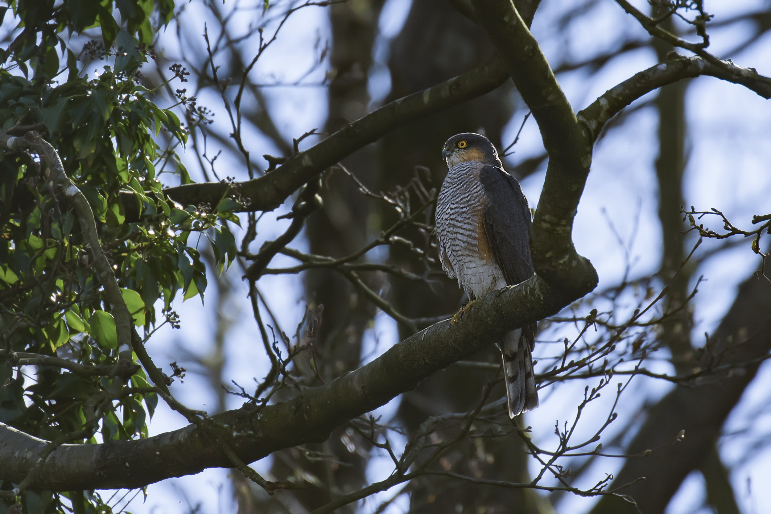 Sparrowhawk 3rd April.jpg