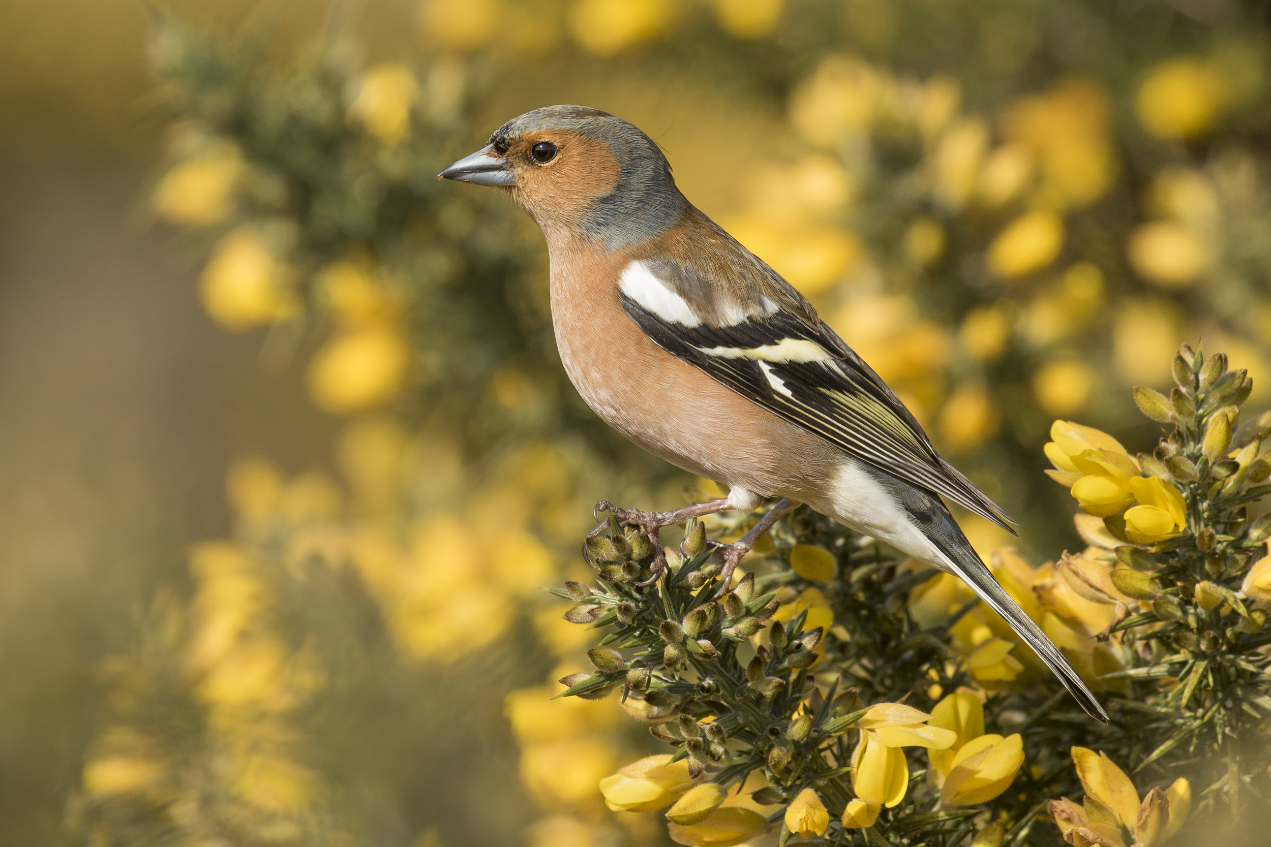 Chaffinch Gorse 3rd April.jpg