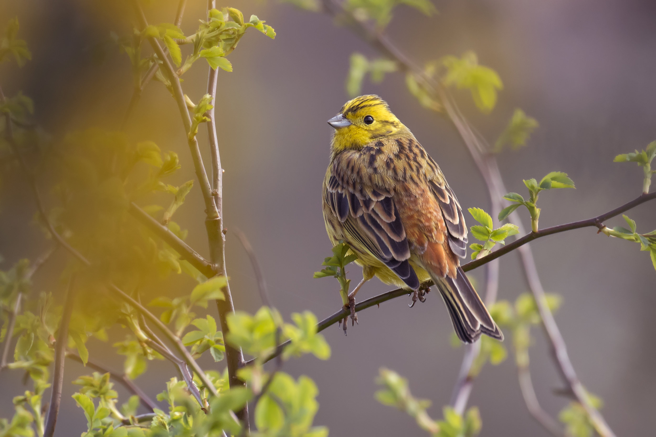 Yellowhammer 5th April.jpg