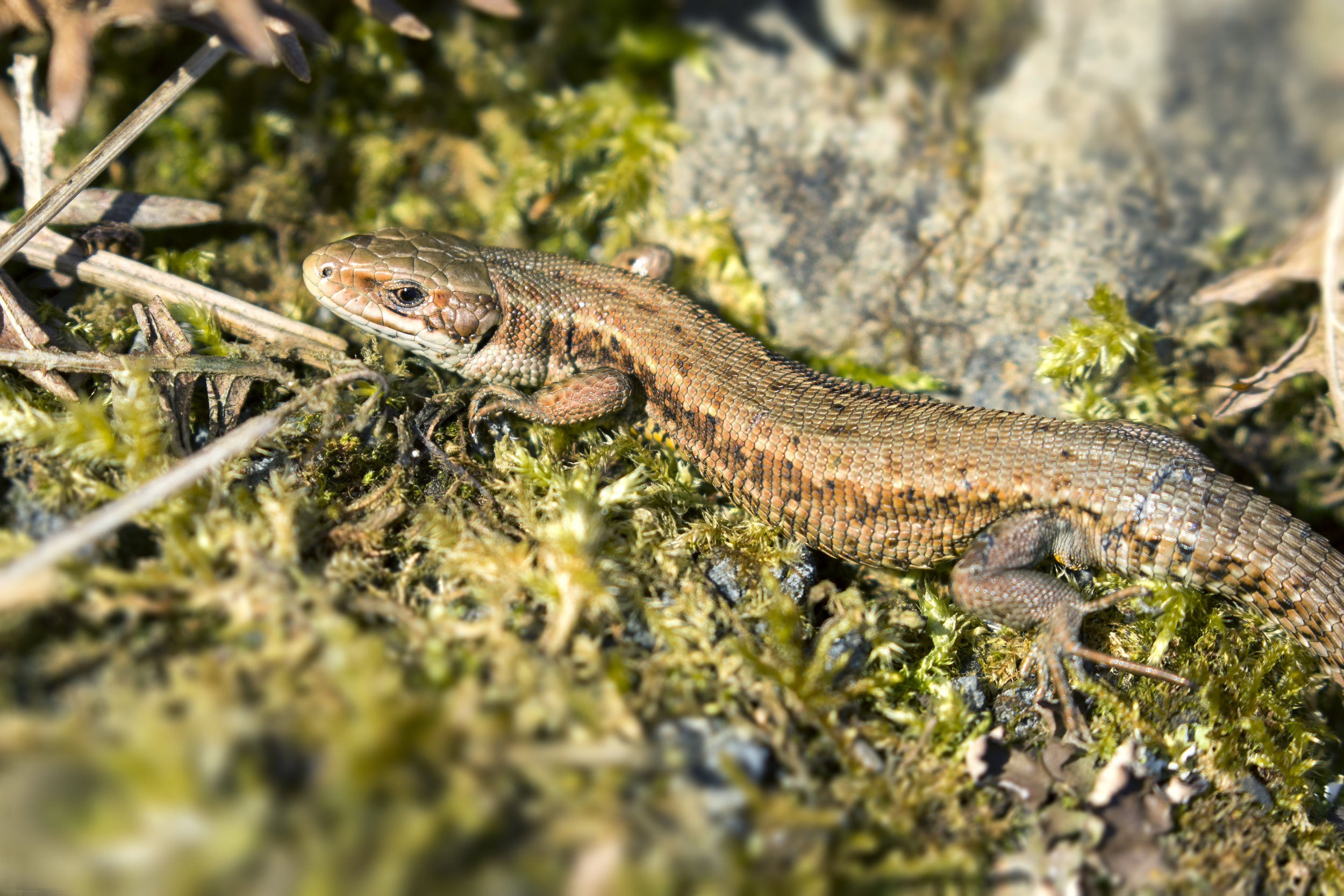 Common Lizard 5th April.jpg
