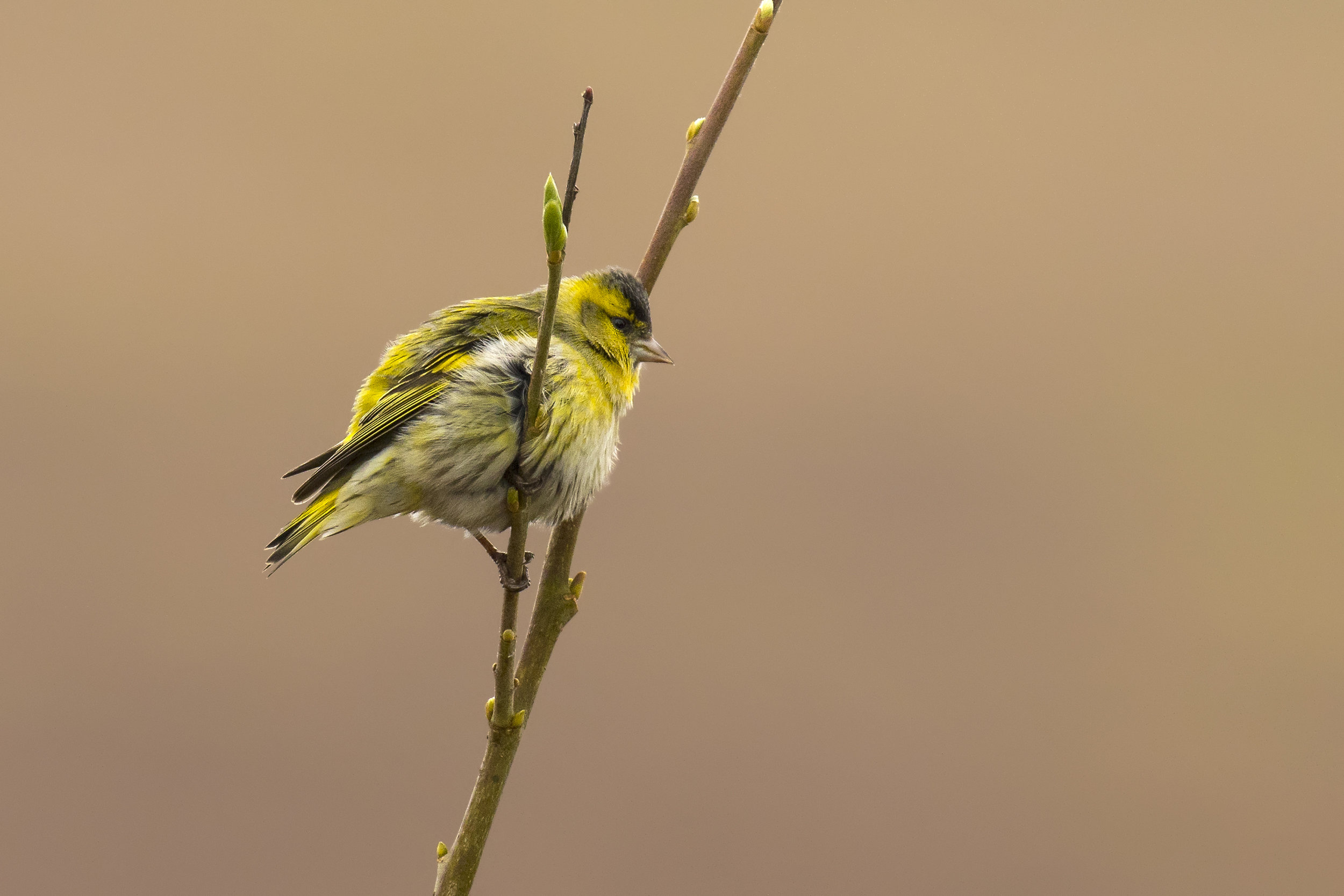 Siskin 4th April.jpg