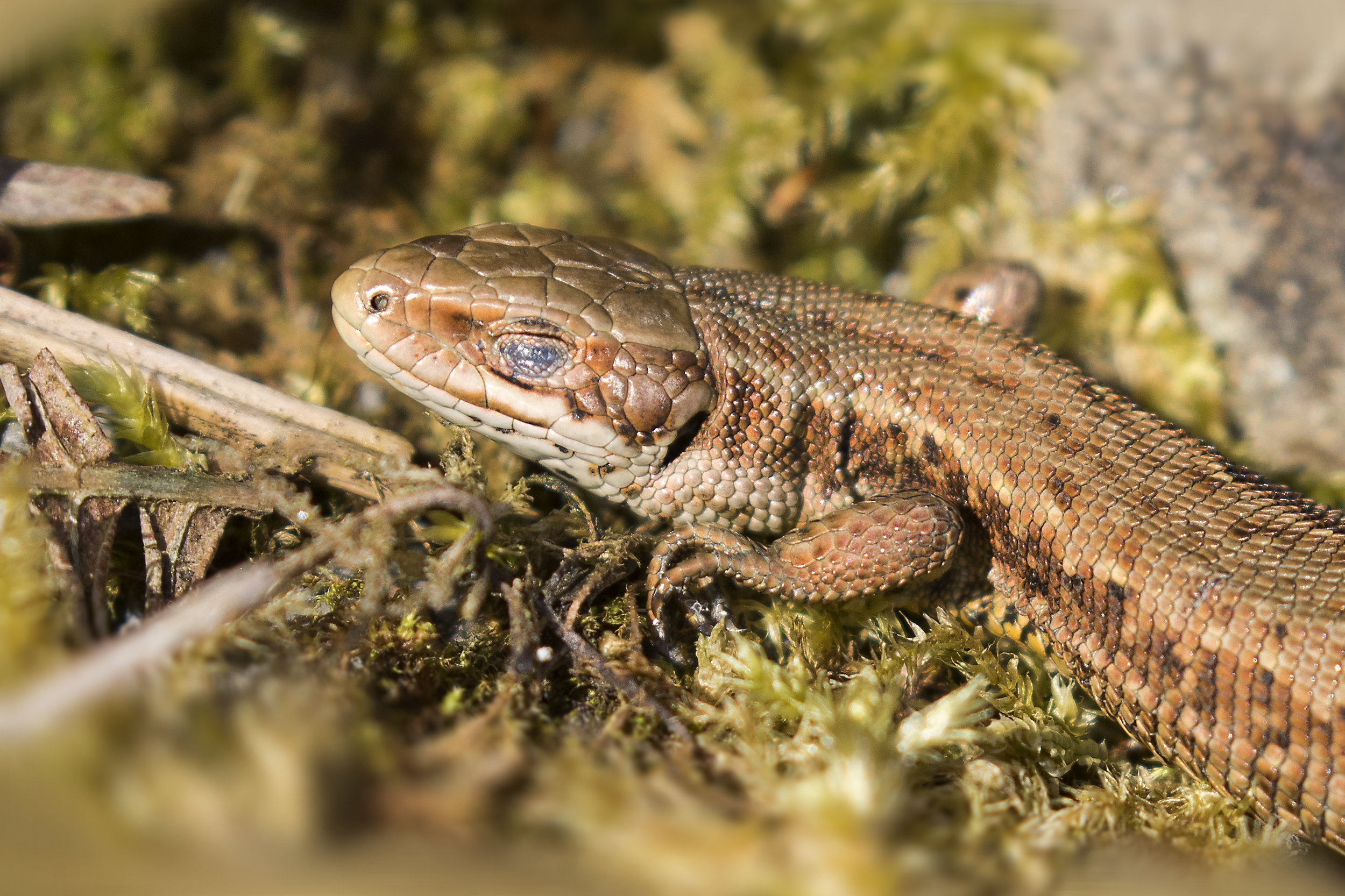 Common Lizard Sleeping 5th April.jpg