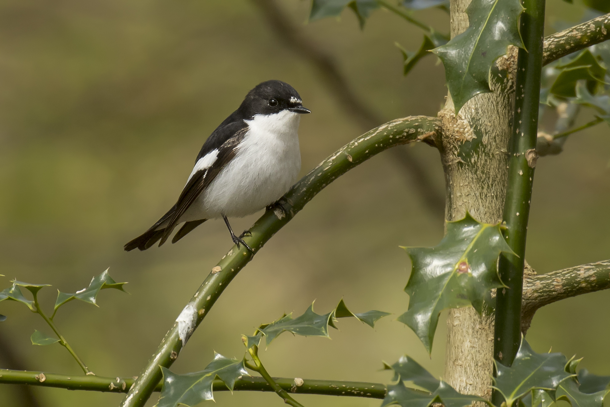 Male Pied Flycatcher, still waiting for a female