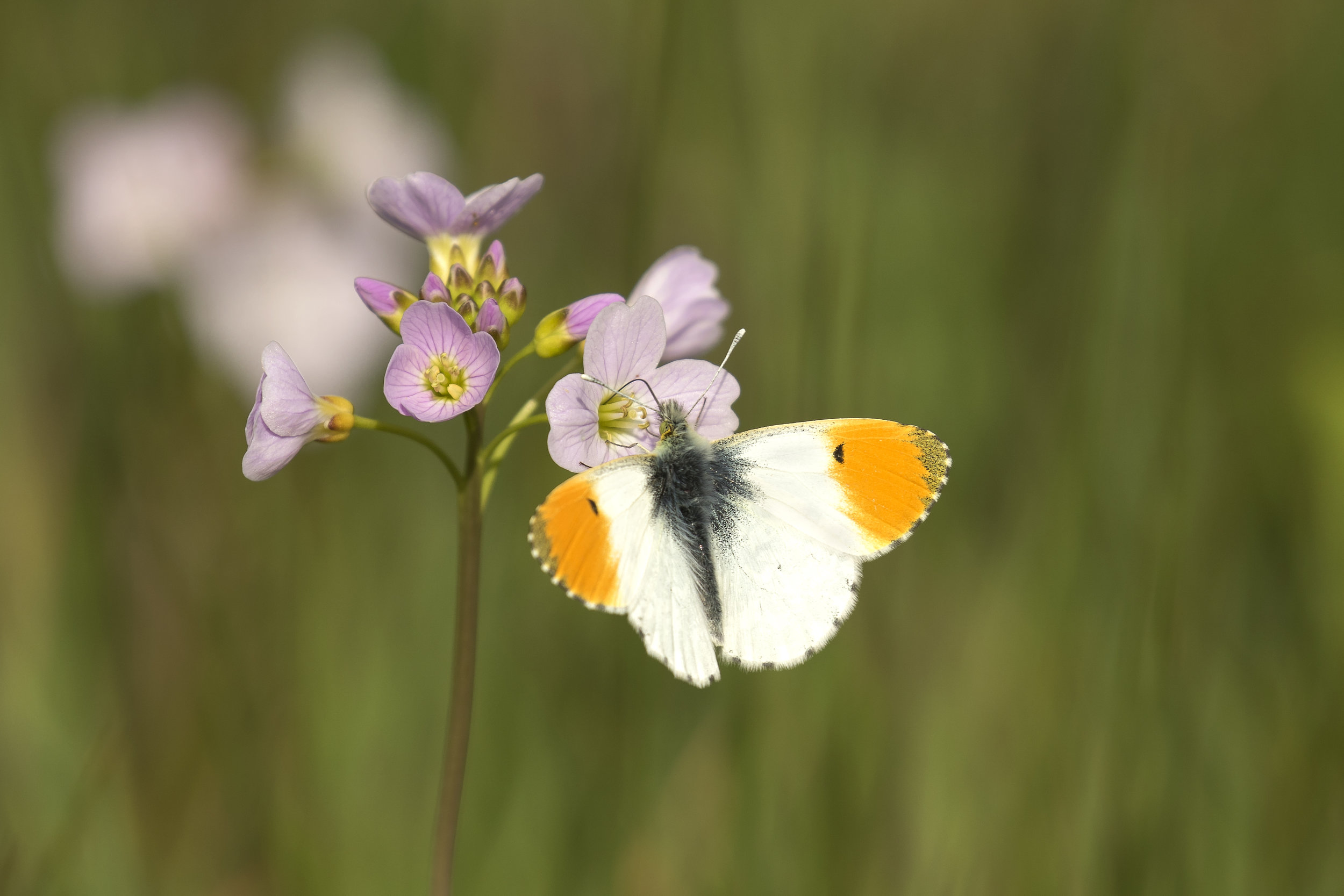 Orange-tip Butterfly 16th April.jpg