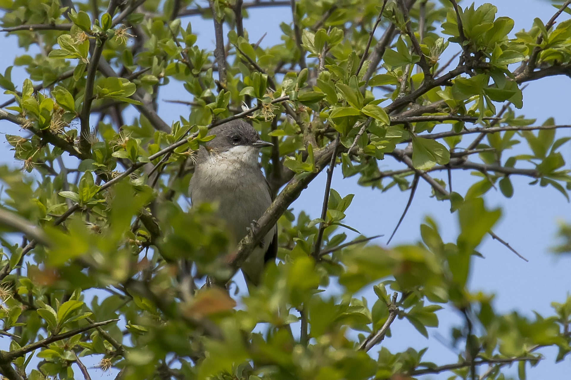 Lesser Whitethroat 26th April.jpg