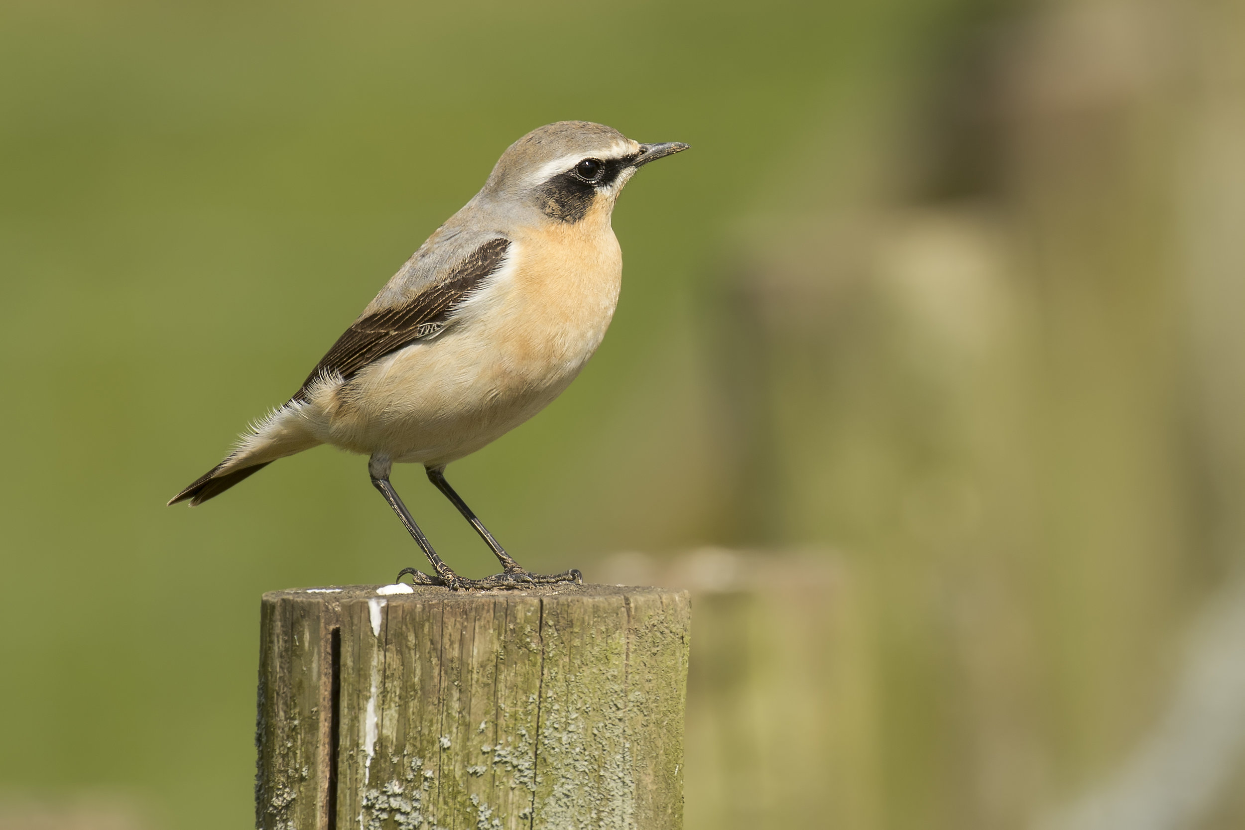 Wheatear Male Post 26th April.jpg