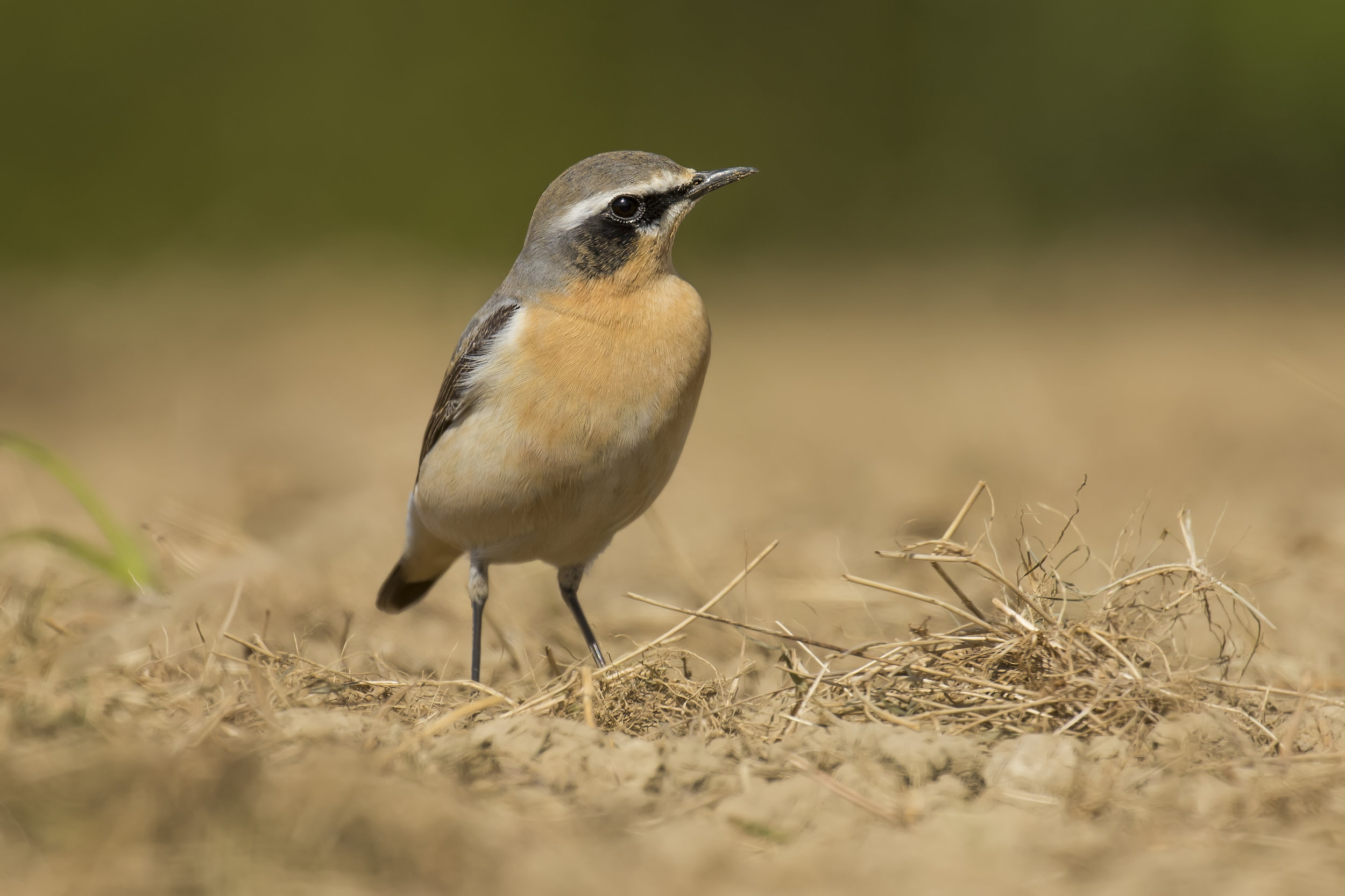 Wheatear Ground Shot 26th April.jpg