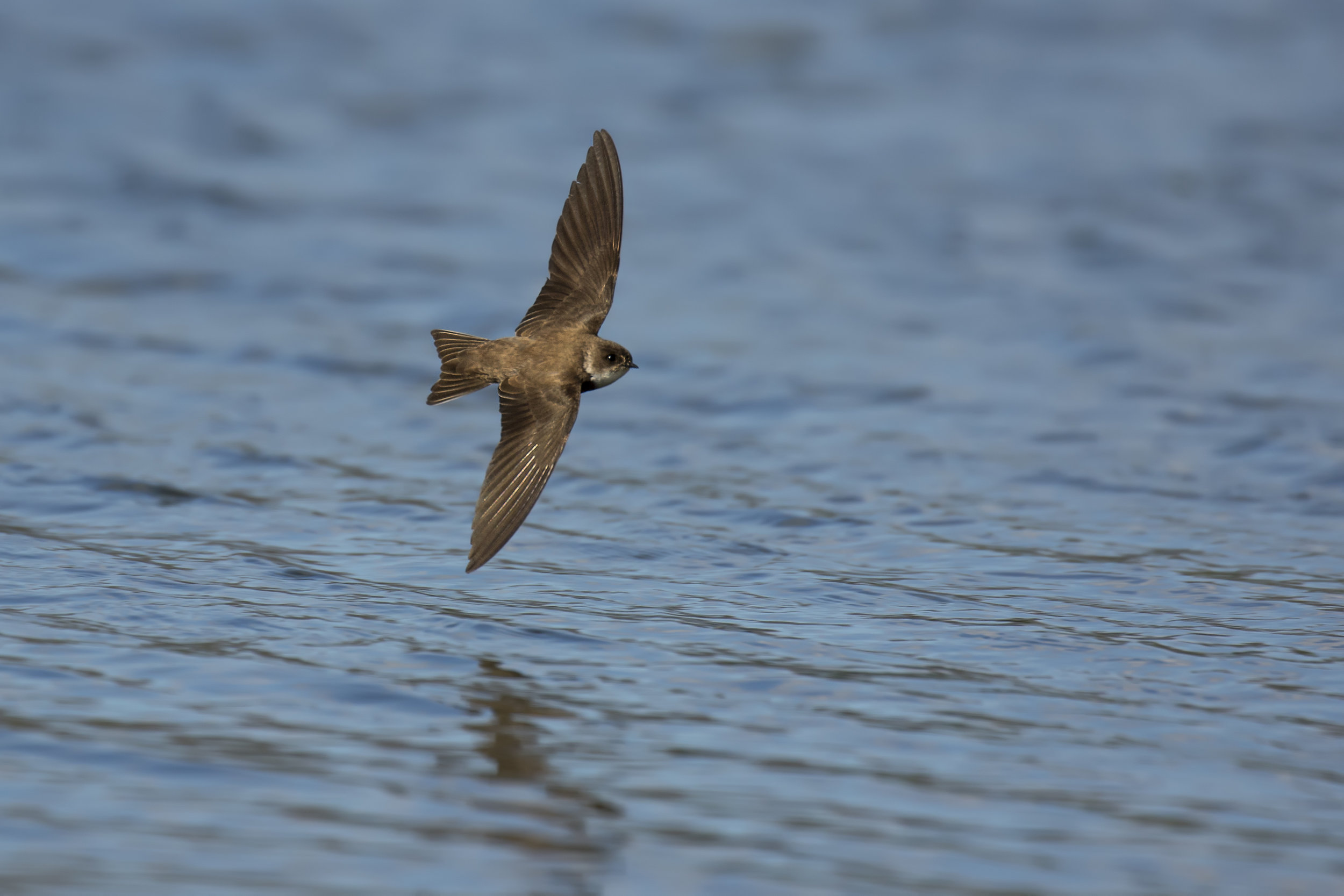 Sand Martin Flight 26th April.jpg