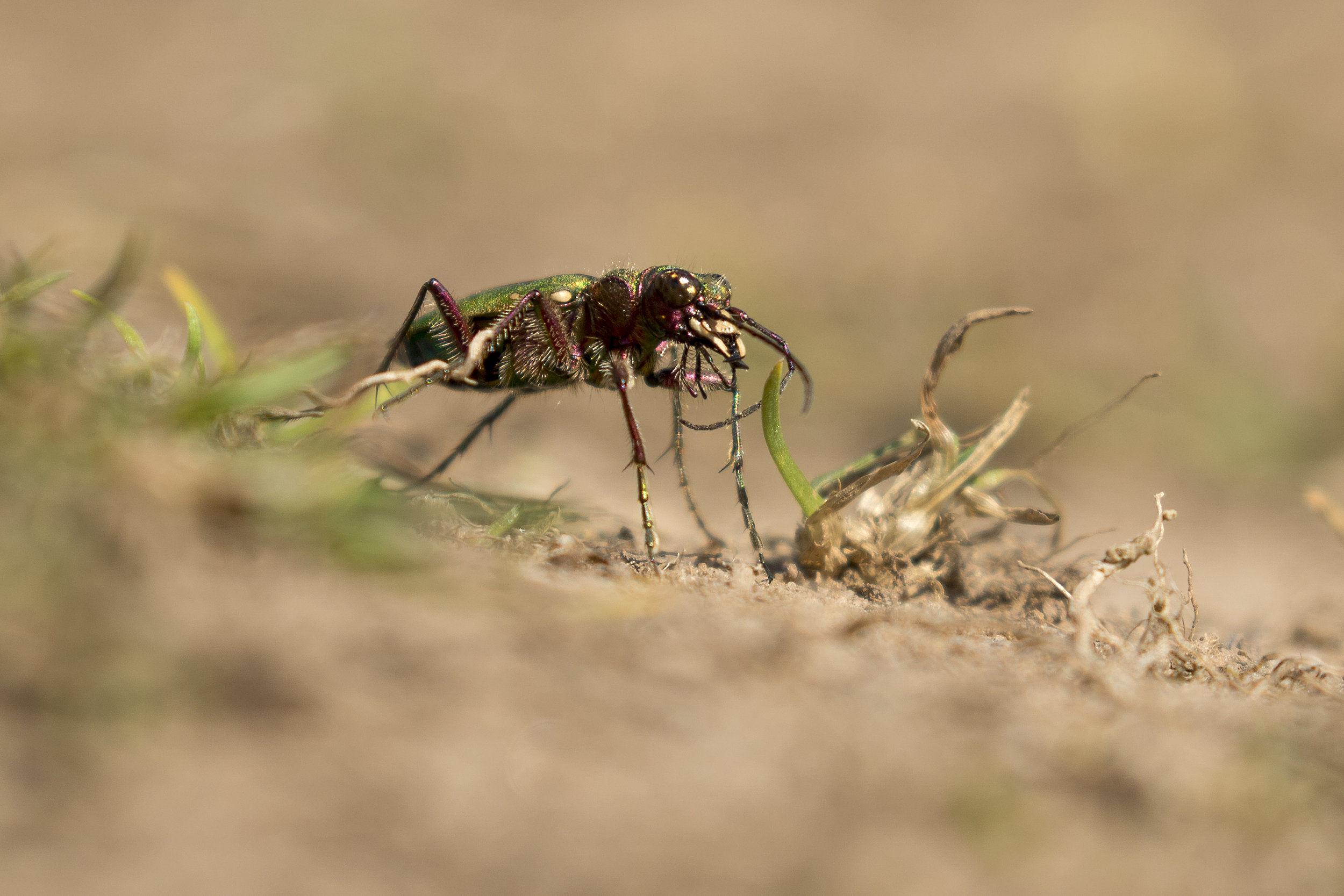 Green Tiger Beetle 25th April.jpg