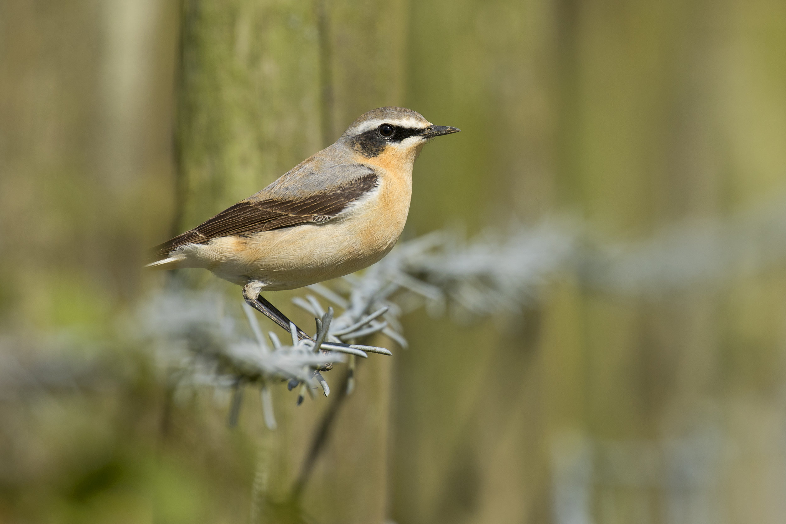 Wheatear Barb 26th April.jpg
