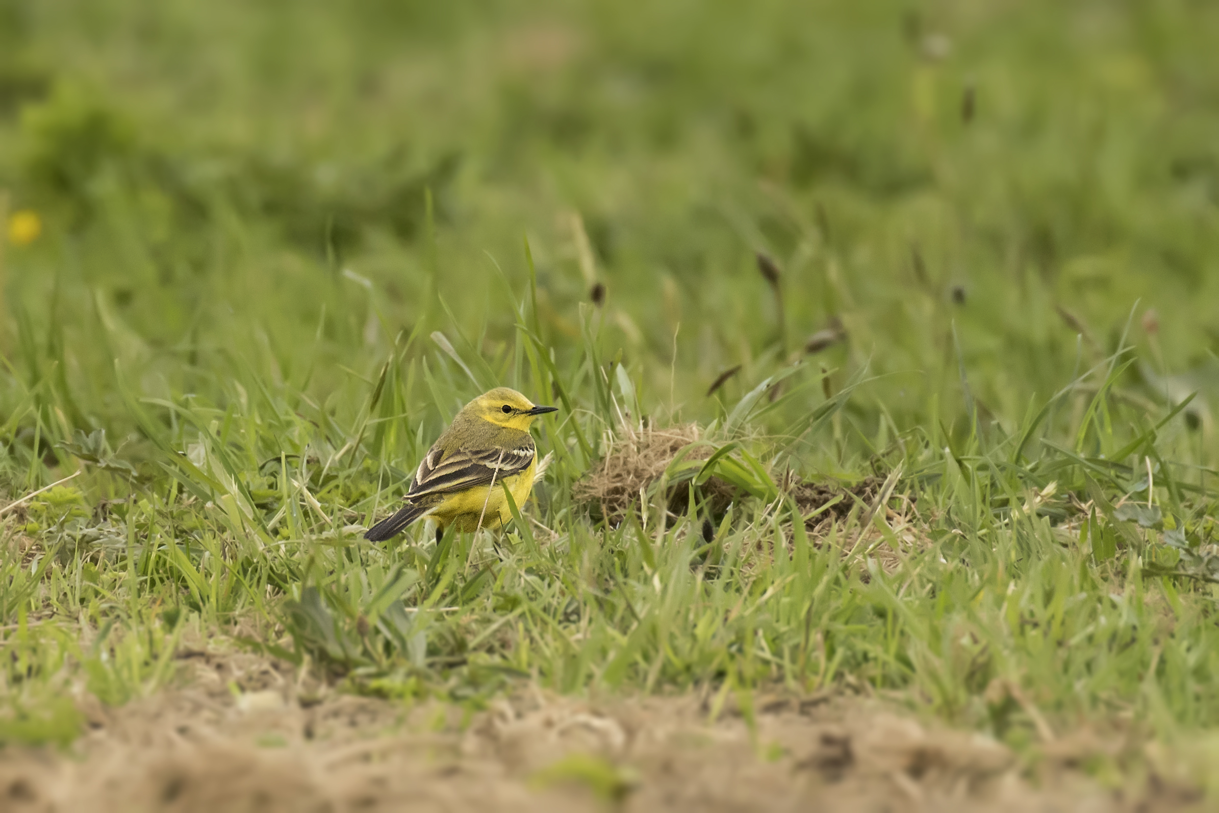Yellow Wagtail 25th April.jpg