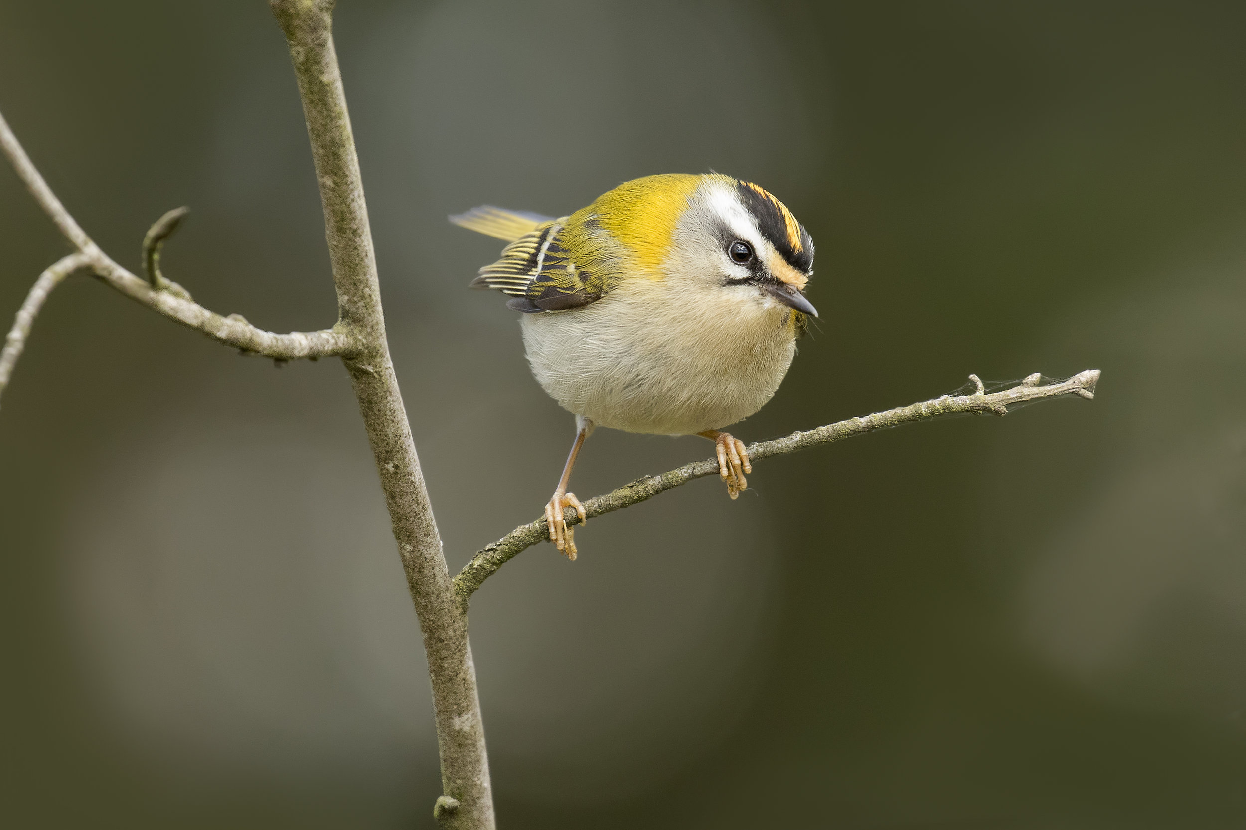 Firecrest 25th April.jpg