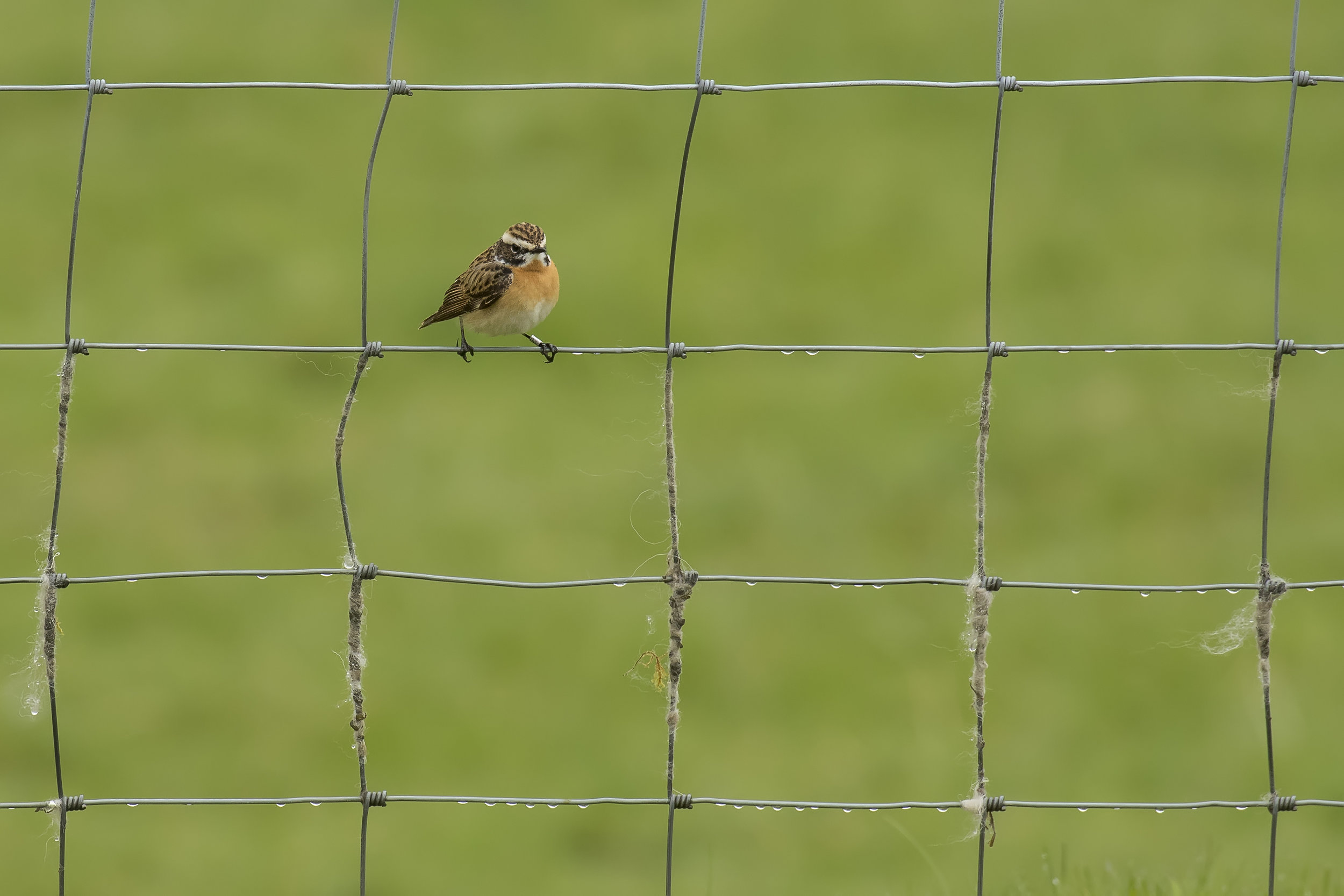 Whinchat Wire Fence 1st May.jpg