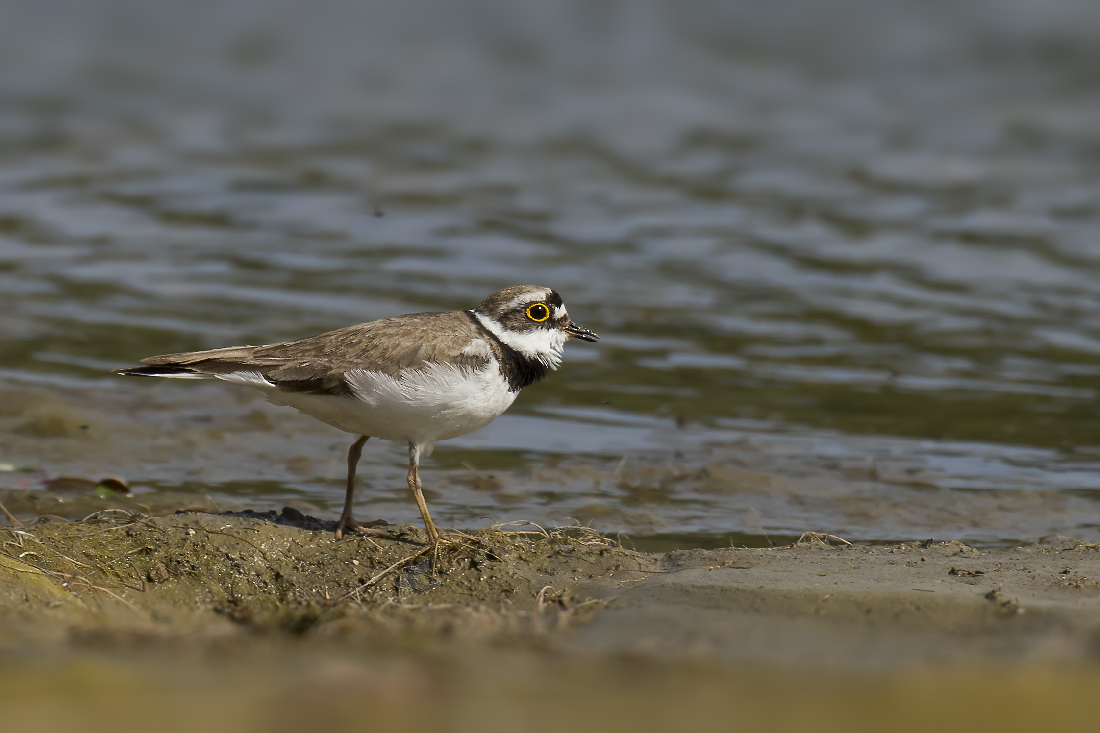 Little Ringed Plover 3rd July.jpg