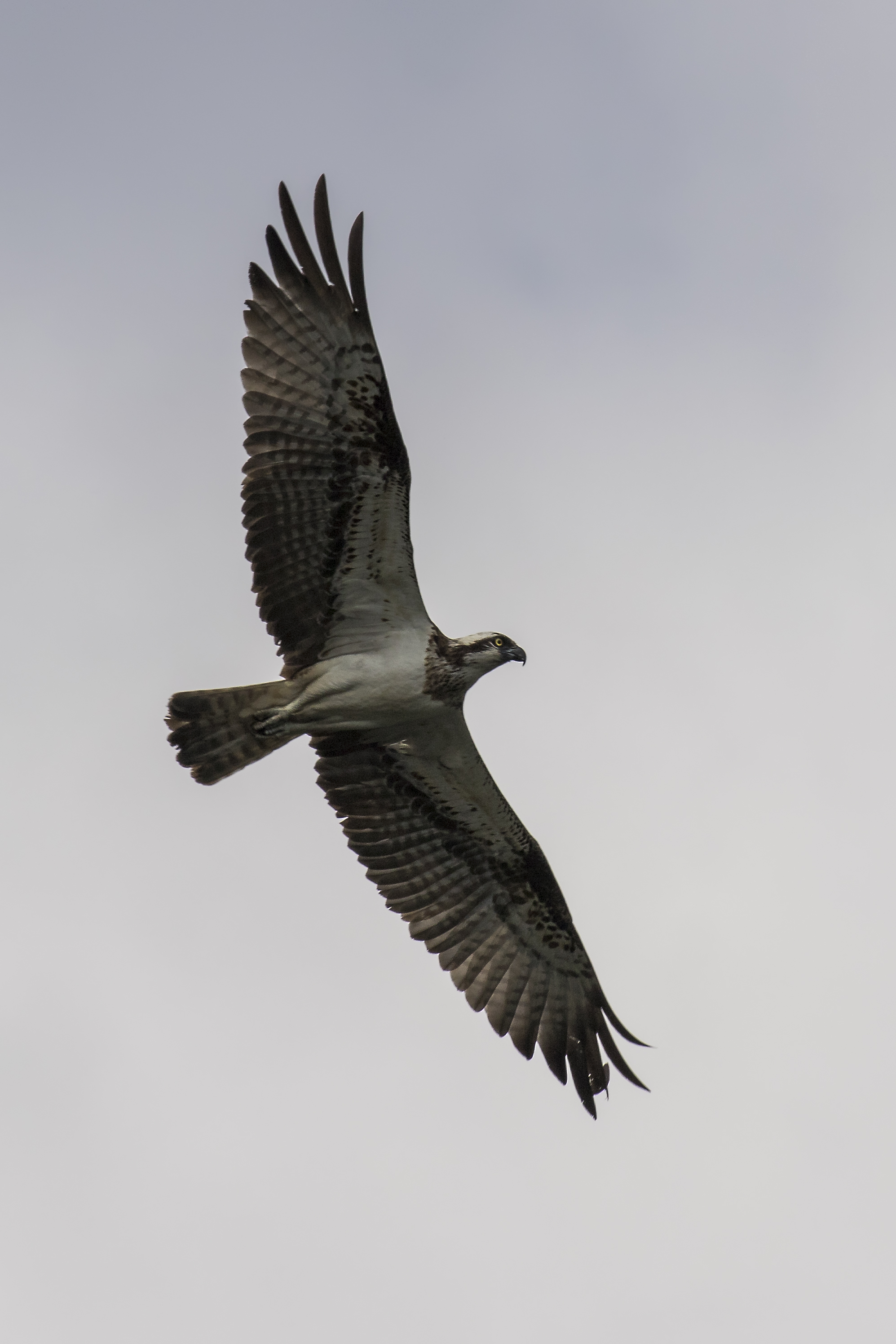 Osprey Flight 2 9th July.jpg