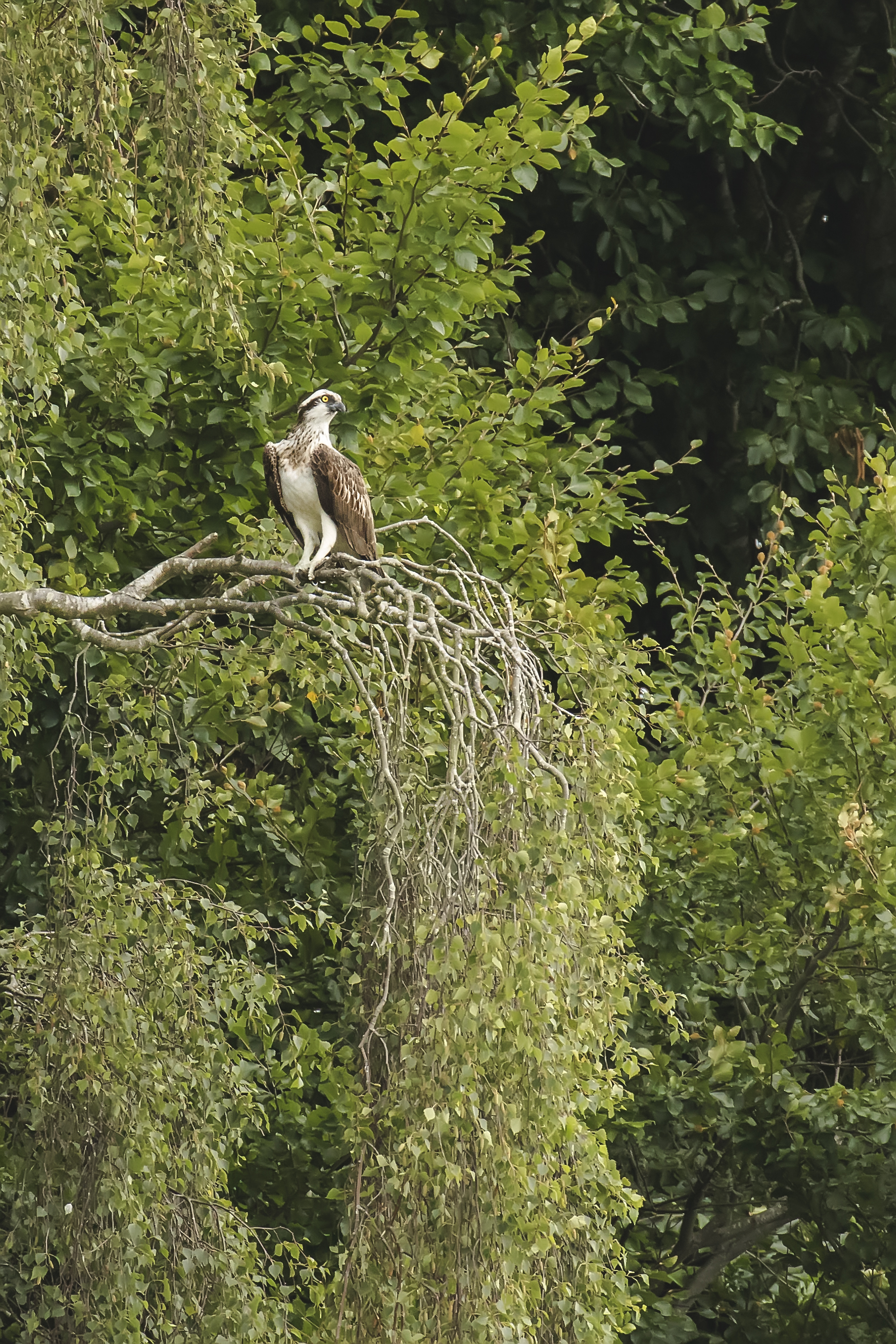 Osprey Perched 9th July.jpg