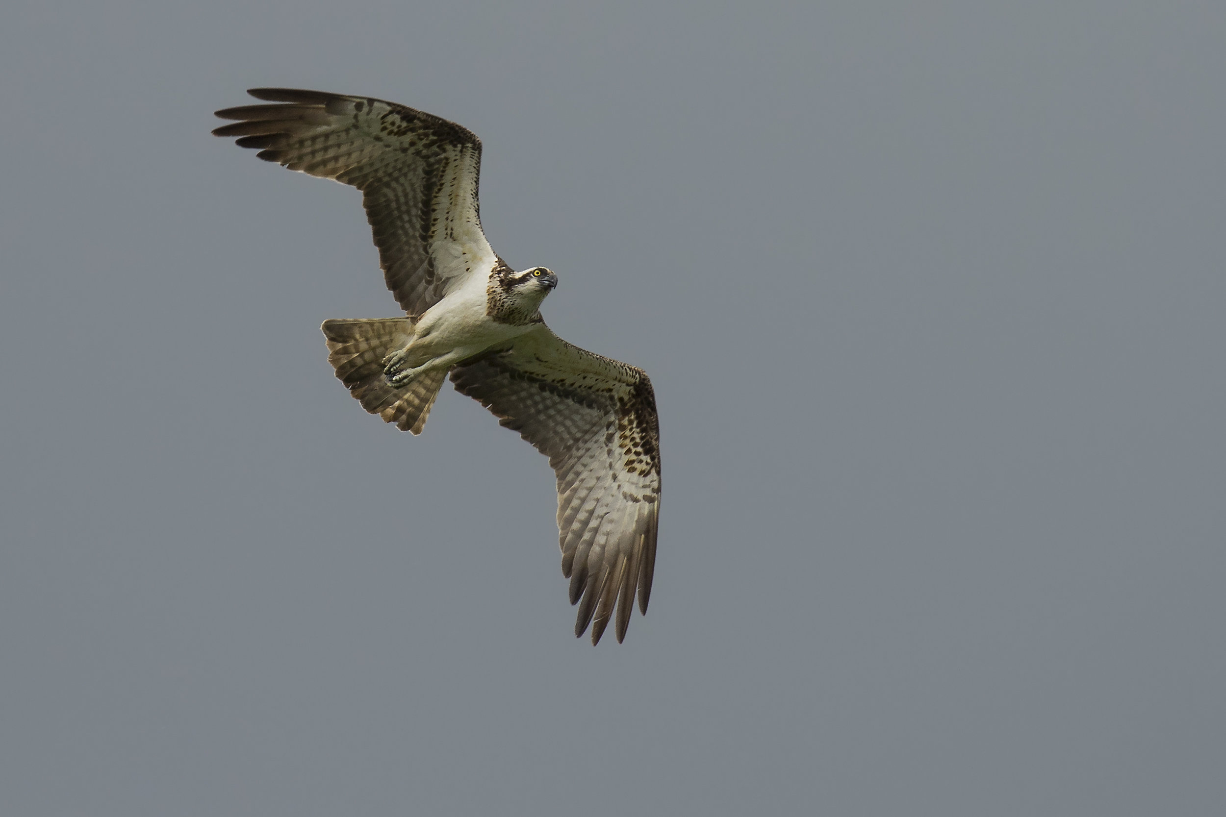 Osprey Flight Shot 9th July.jpg