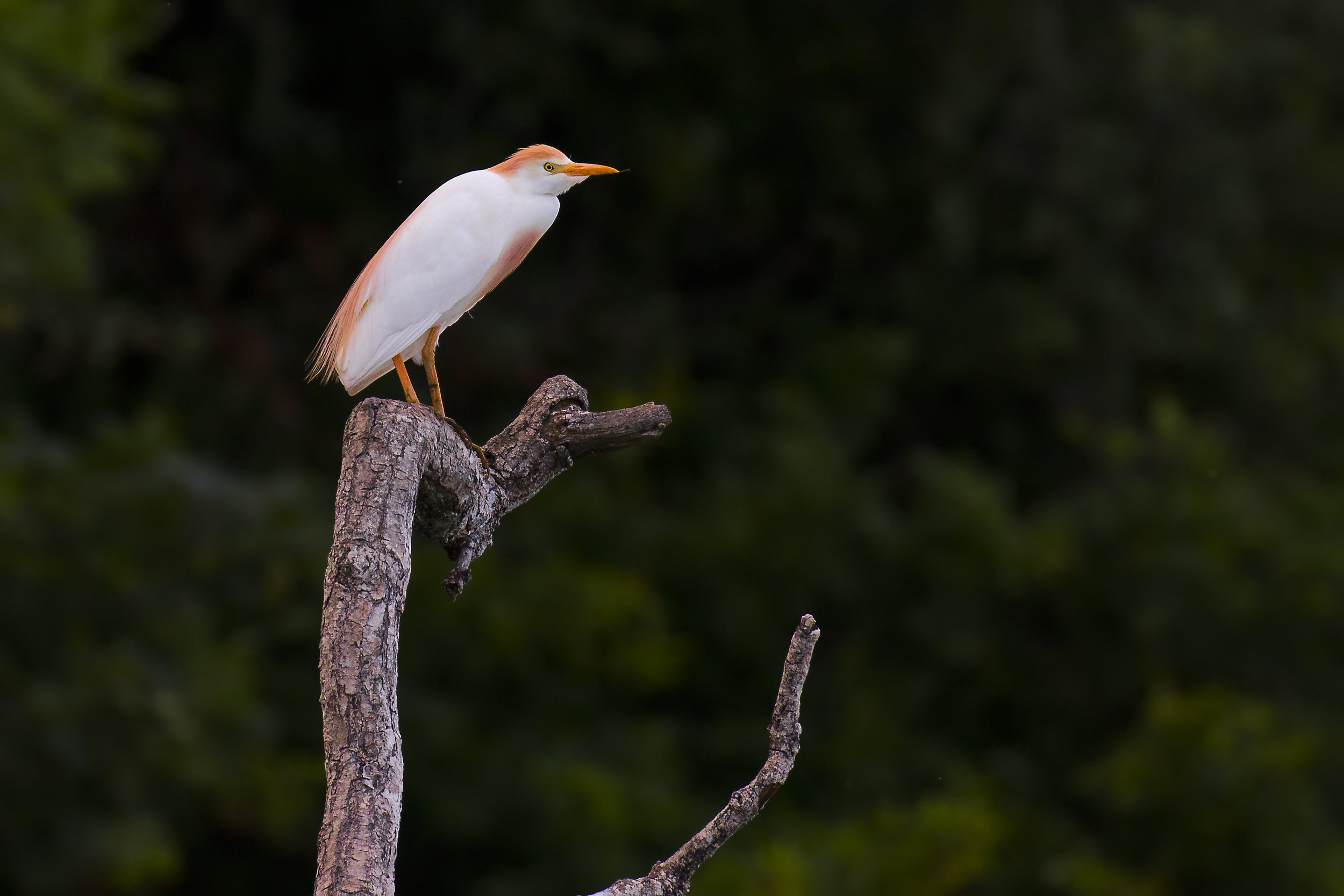 Cattle Egret 16th July.jpg