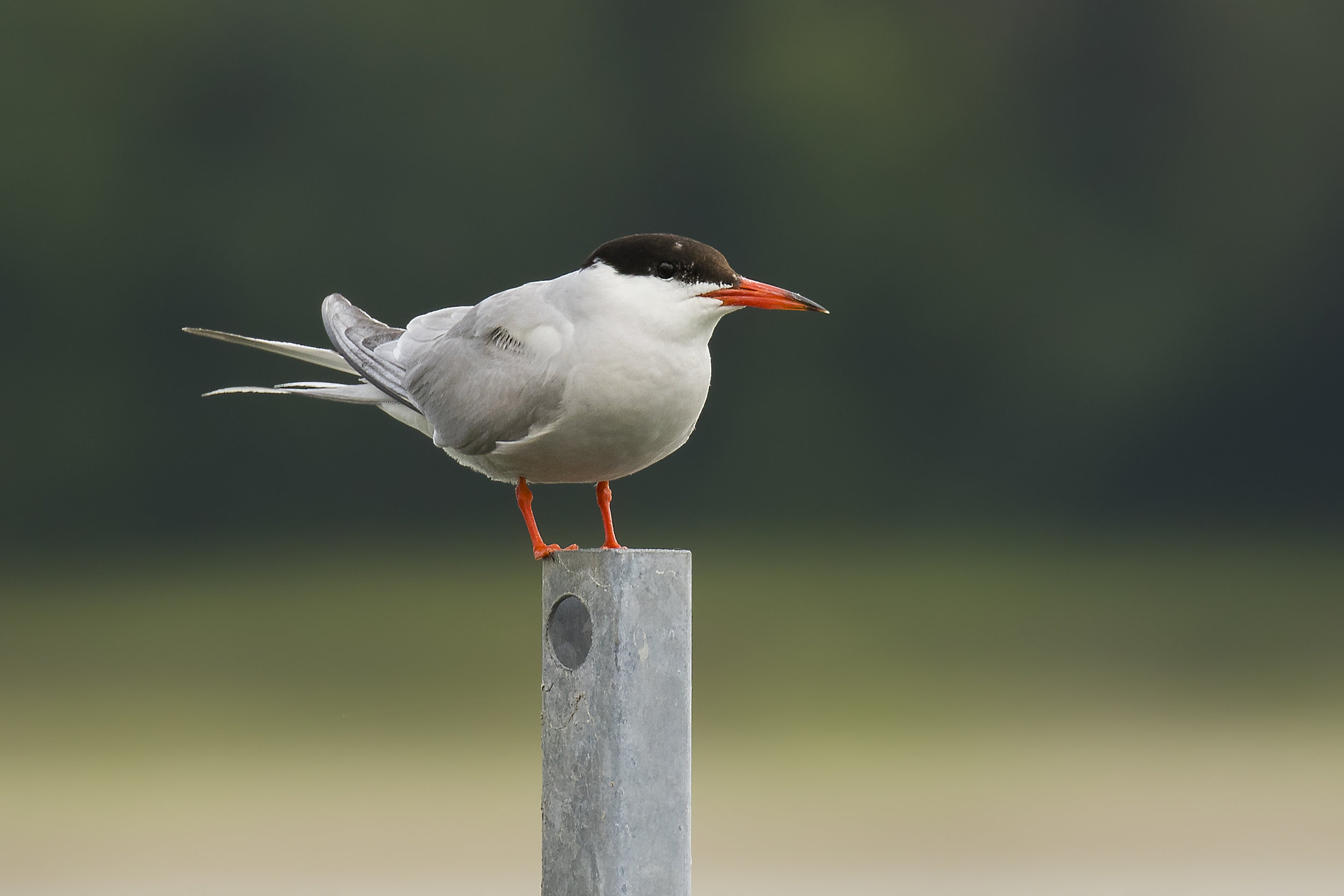 Common Tern L 30th July.jpg