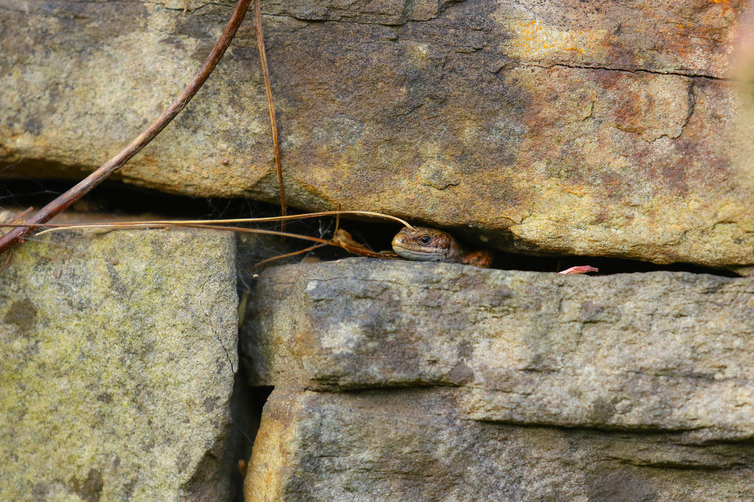 Common Lizard 15th August.jpg