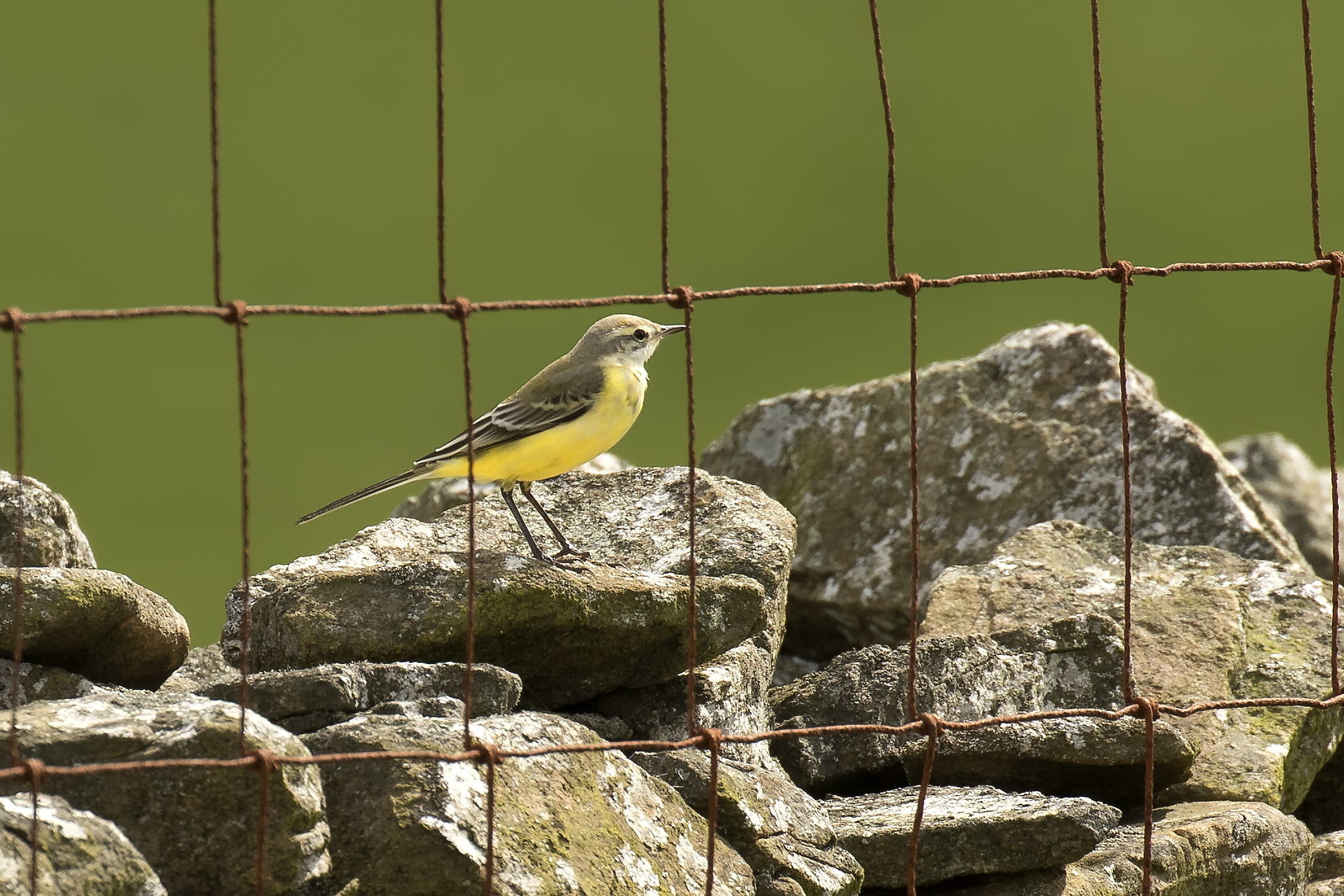 Yellow Wagtail 23th August.jpg