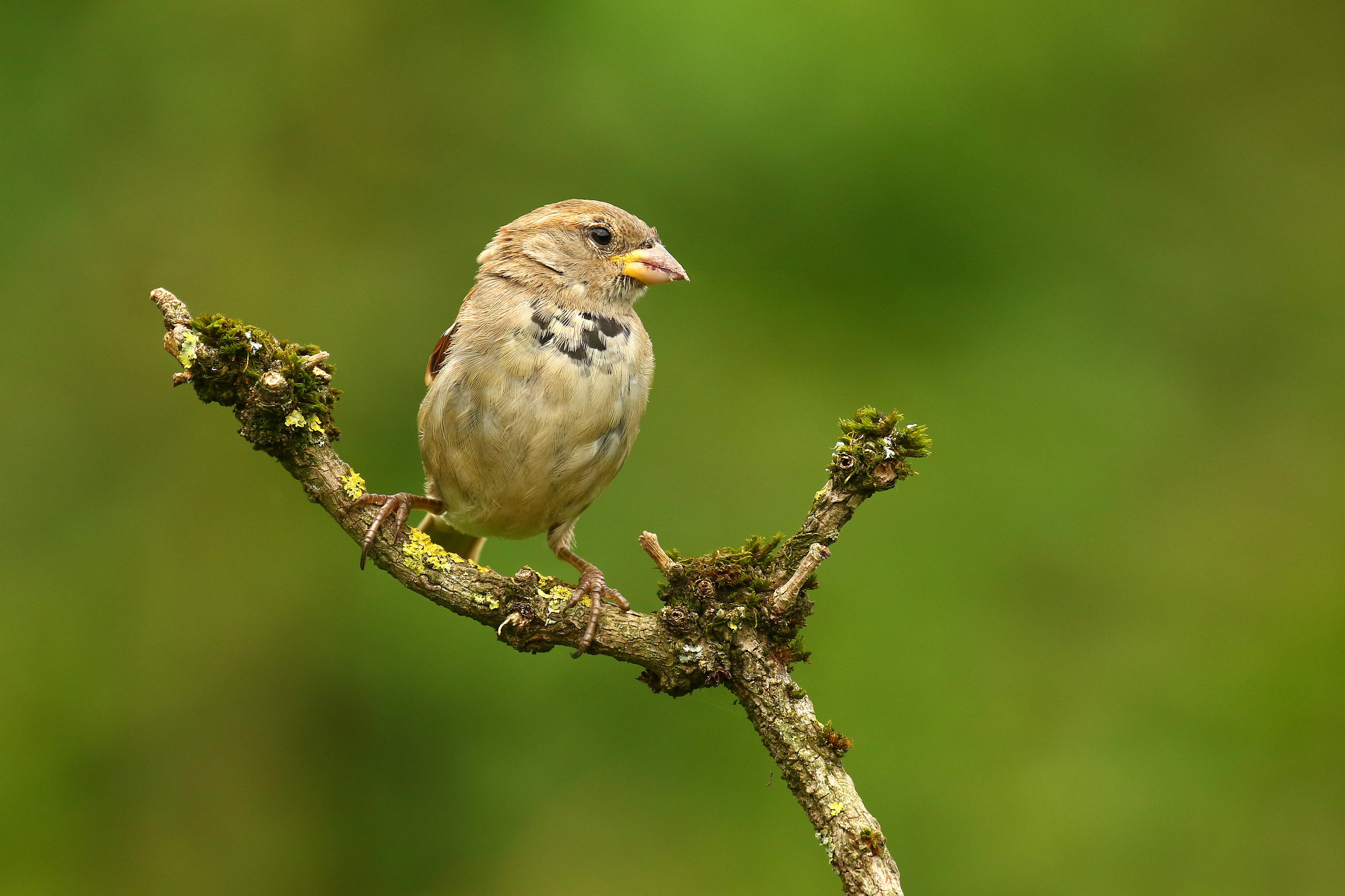 Juvi House Sparrow 23th August.jpg