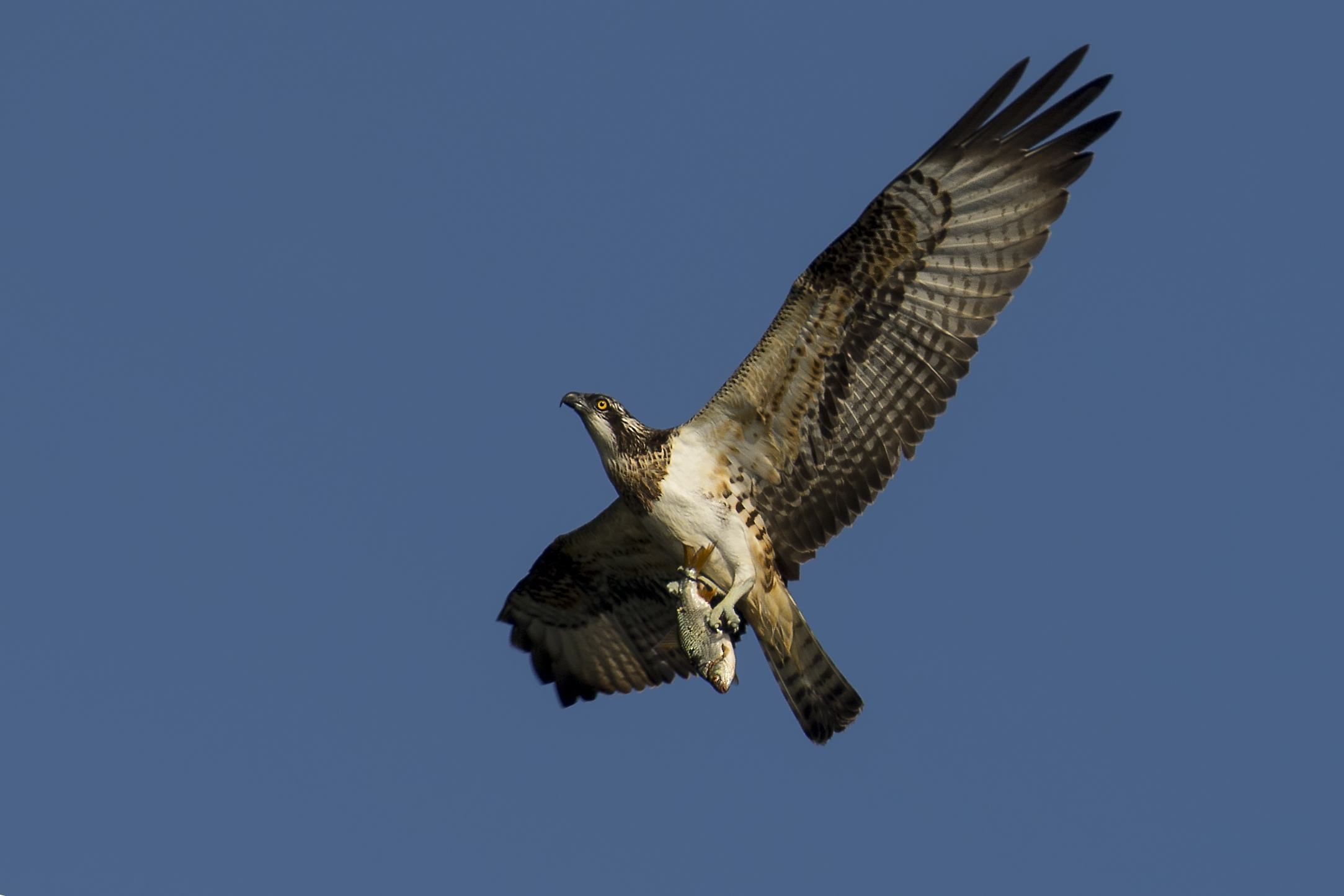 Osprey with Fish 15th September.jpg