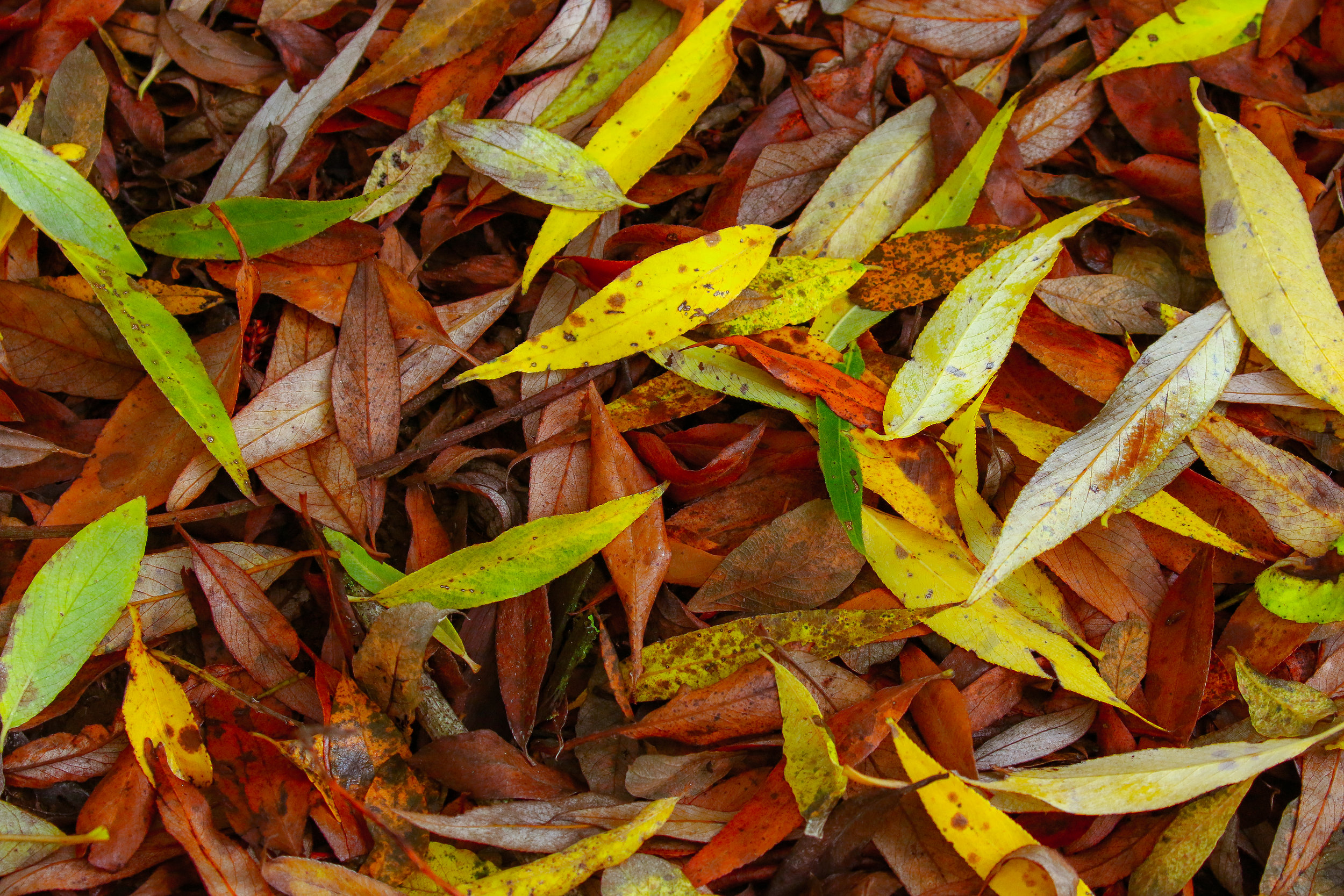 Autumn Willow Leaves 12th September.jpg