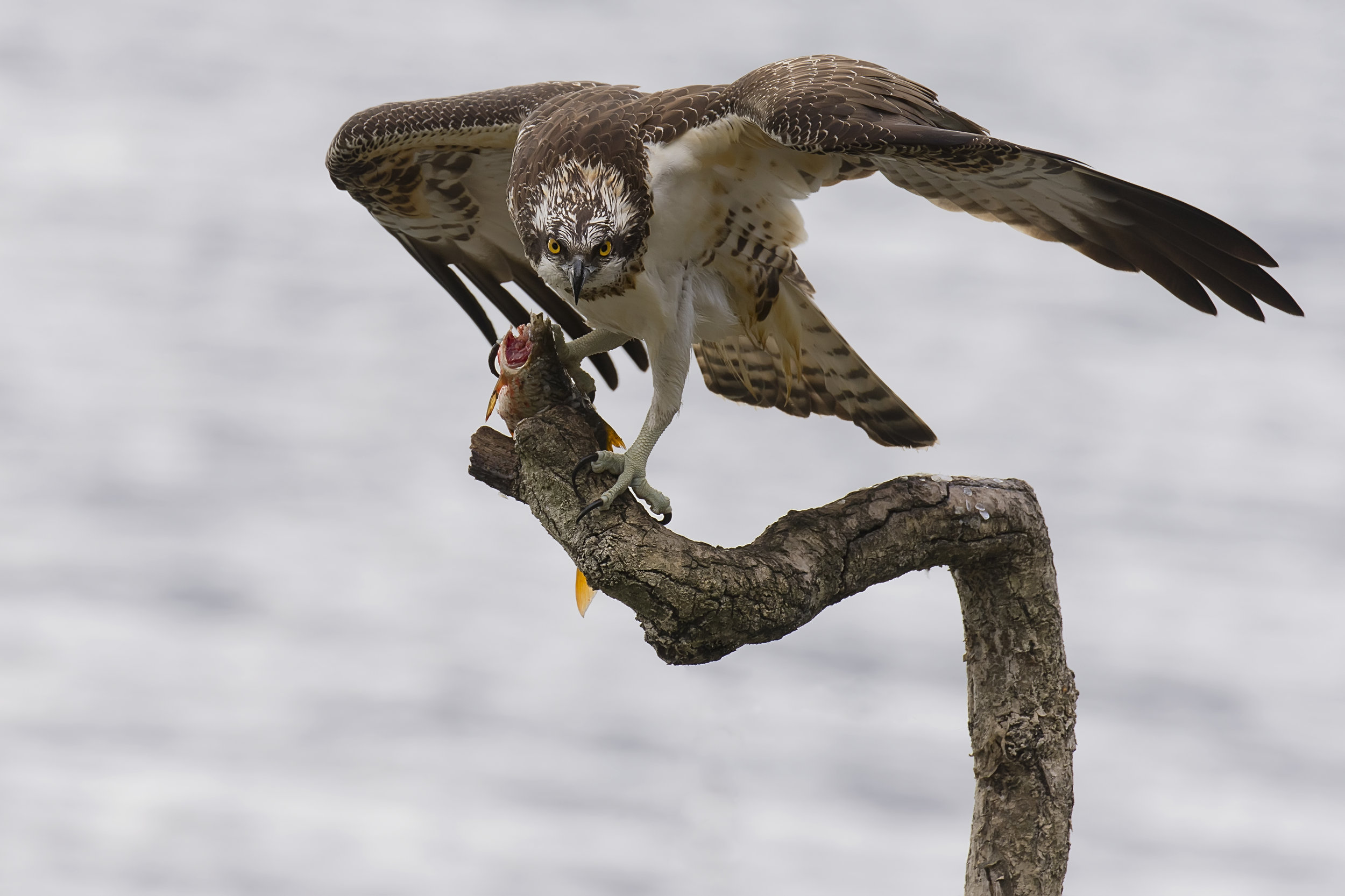 Osprey Headless Fish 9th October .jpg