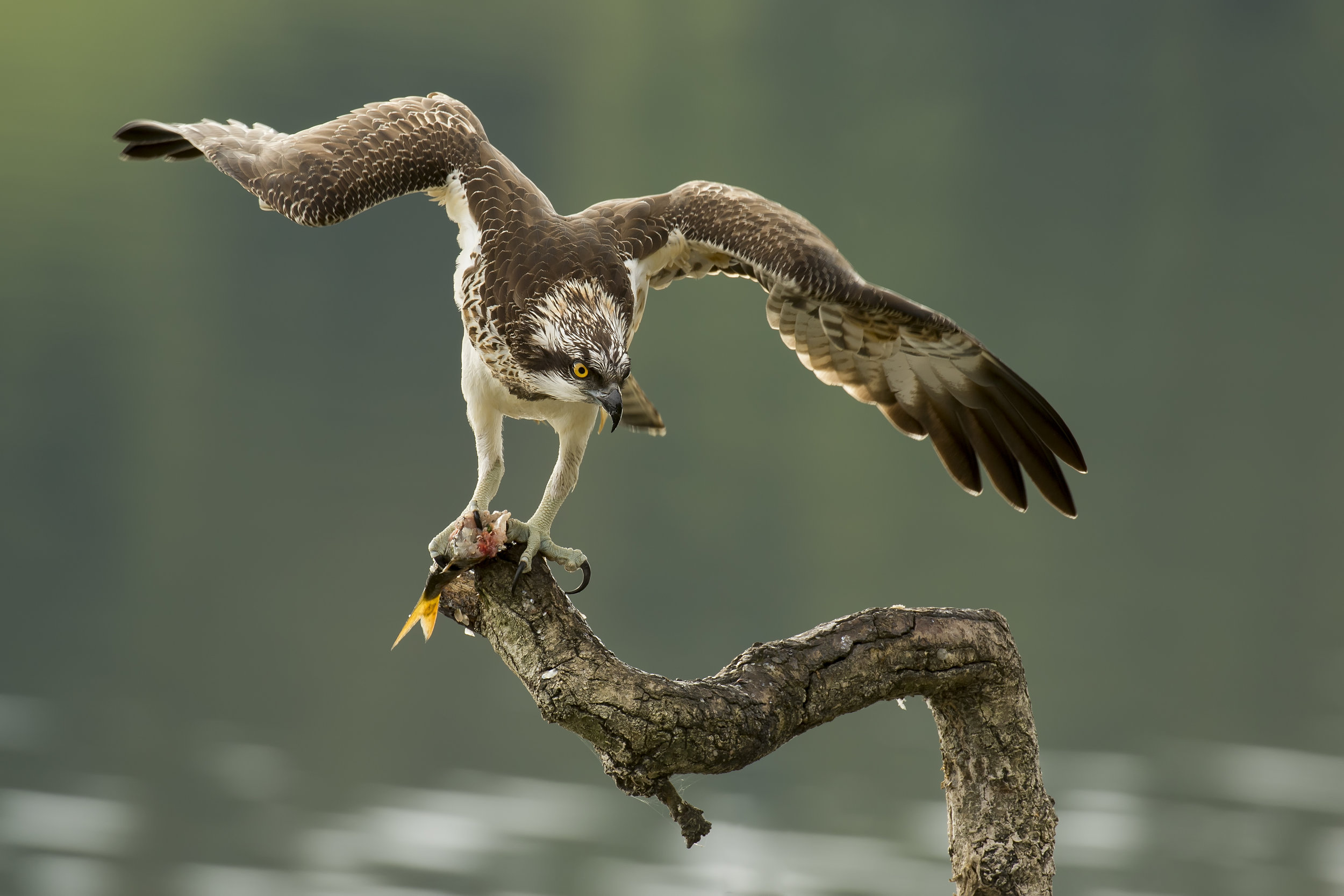 Osprey Favourite Winged Pose 9th October.jpg