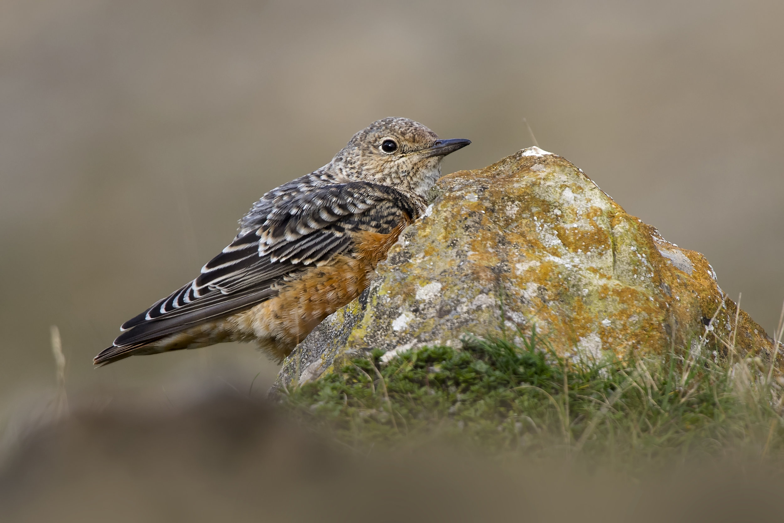 Rufouse-tailed Rock Thrush on Rock 20th October.jpg