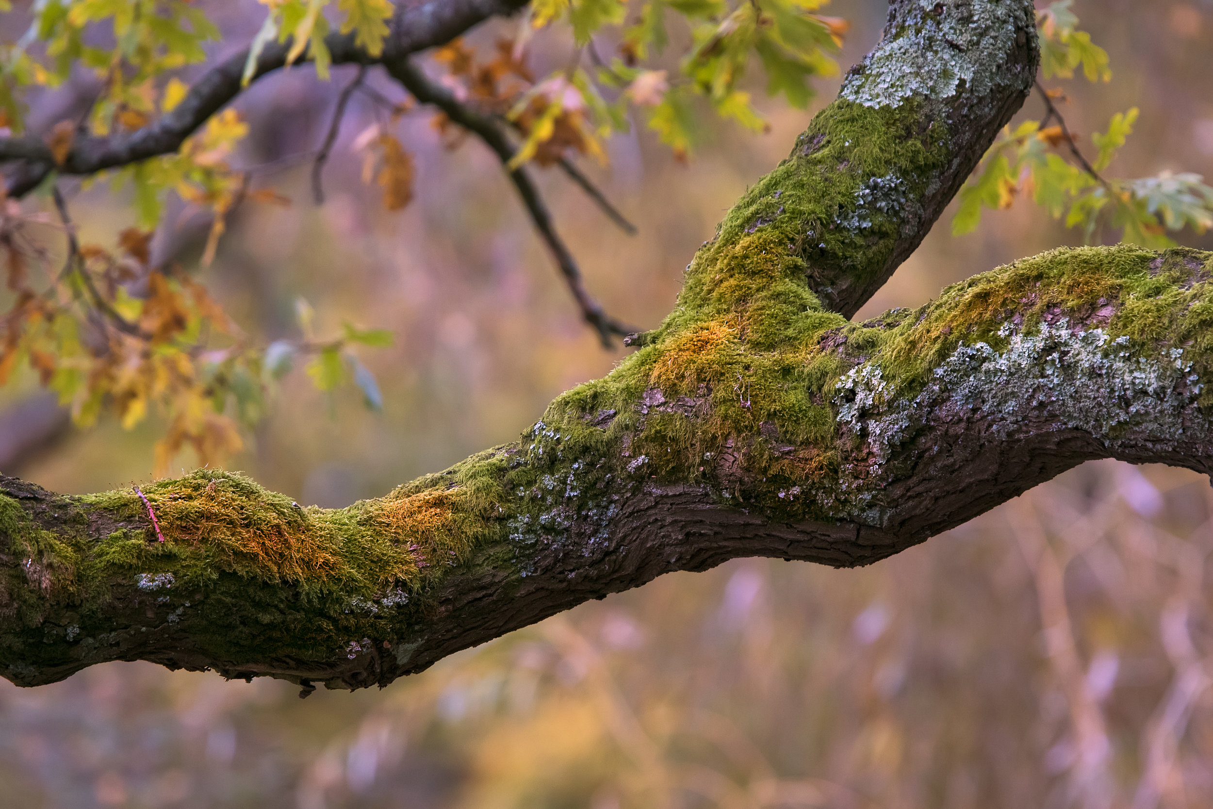 Old Autumn Oak 15th November.jpg