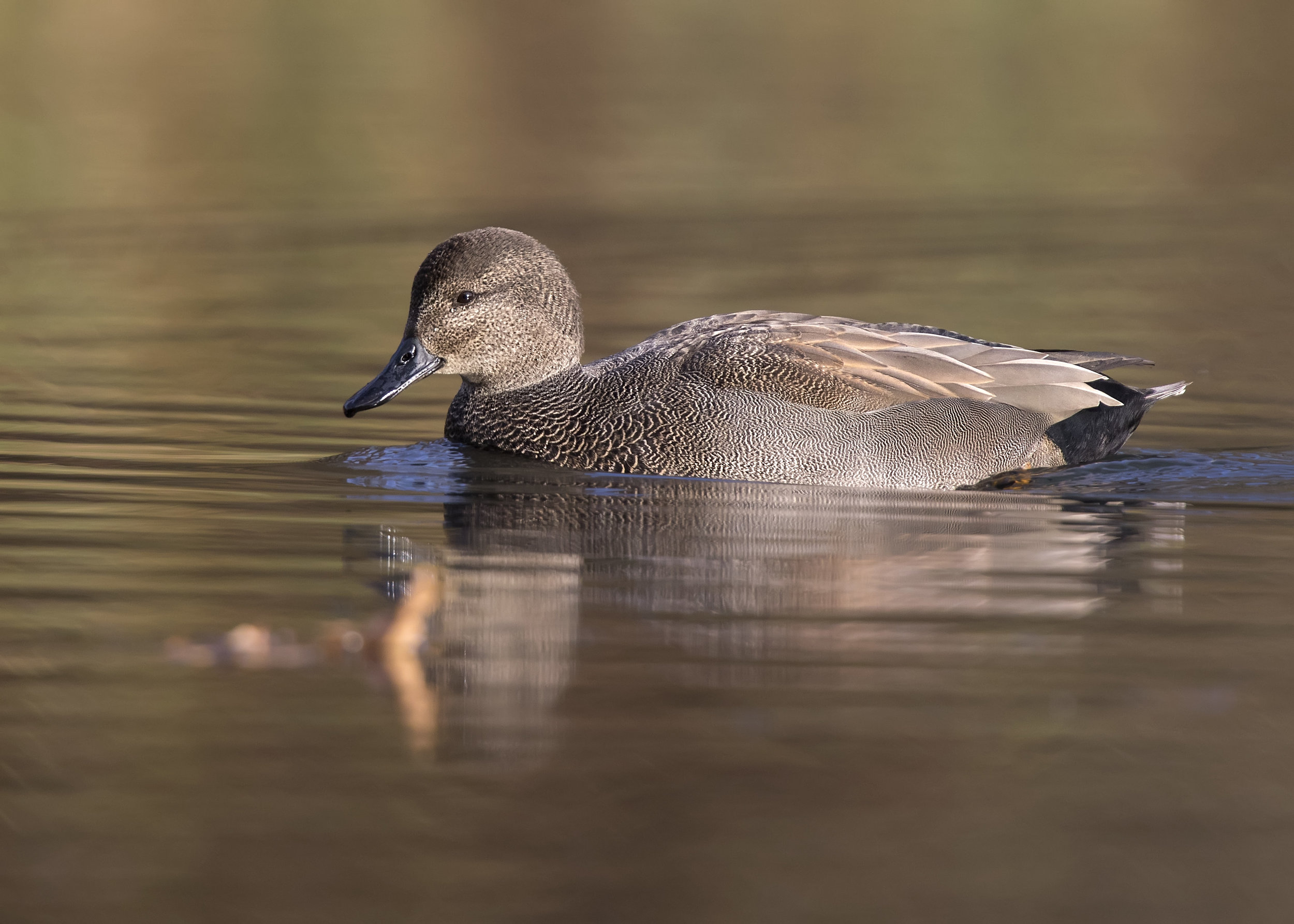 Male Wigeon 17th November.jpg