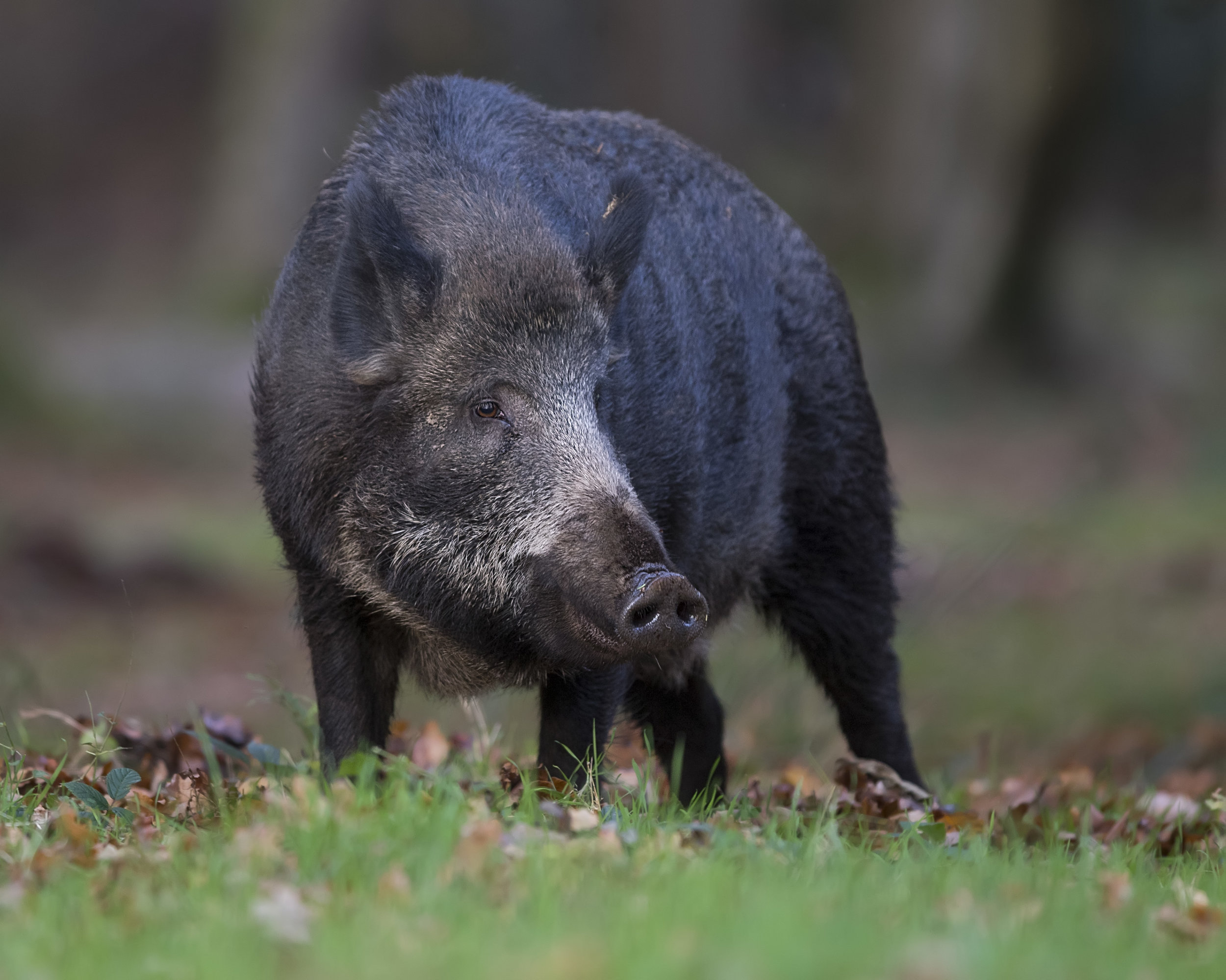 Wild Boar FF 17th November.jpg