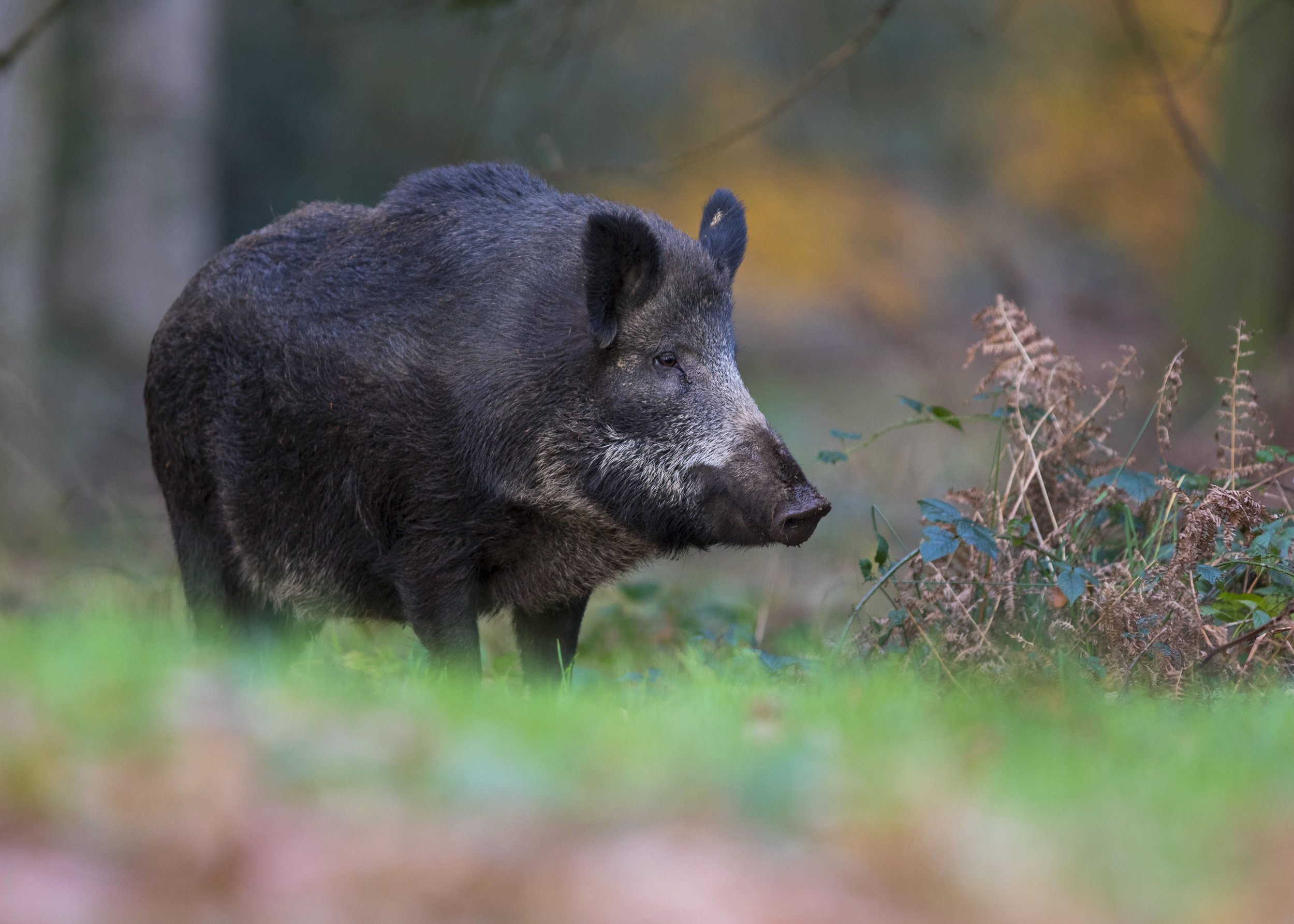 Wild Boar Sow 17th November.jpg