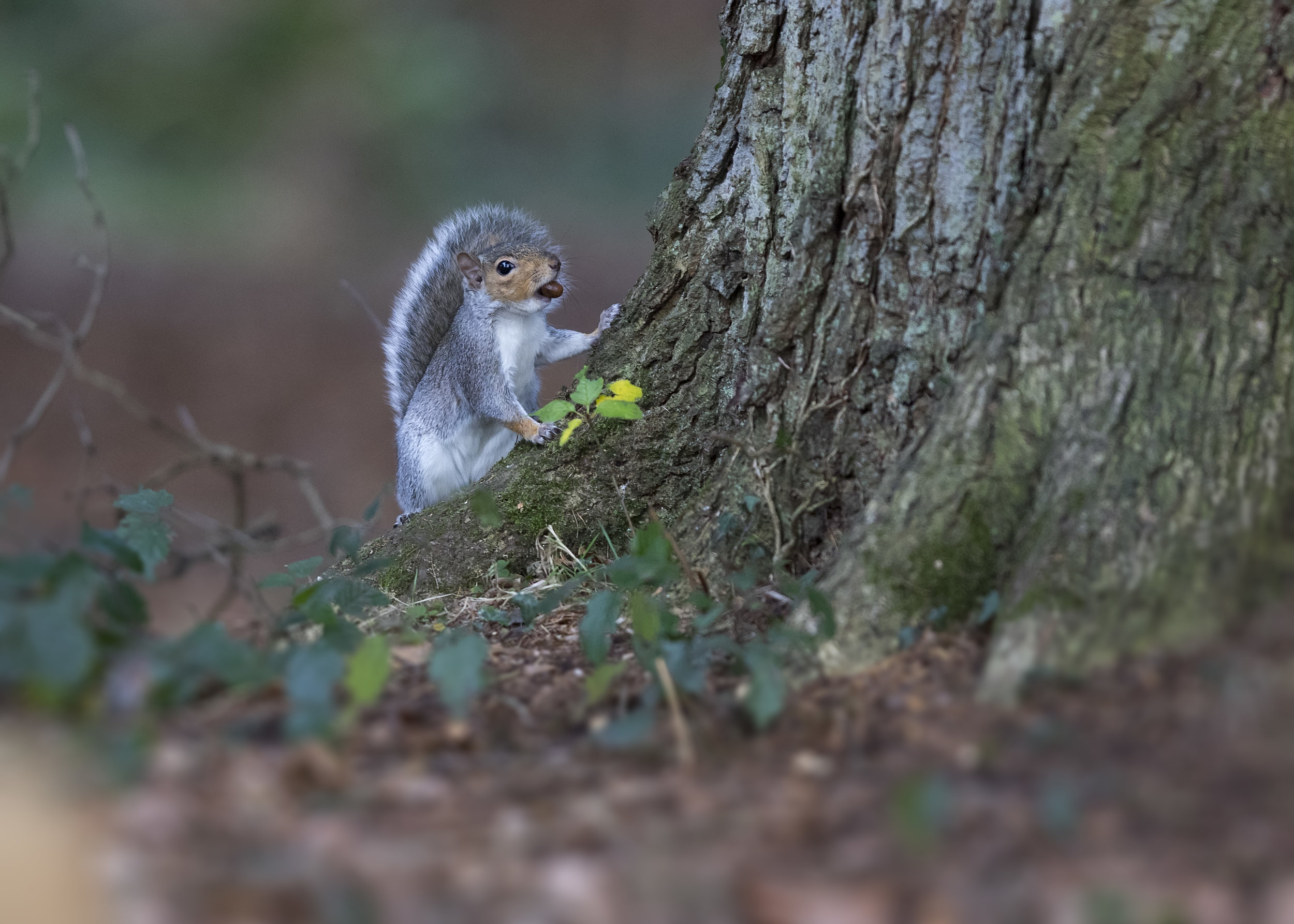 Grey Squirrel with Nut 17th November.jpg