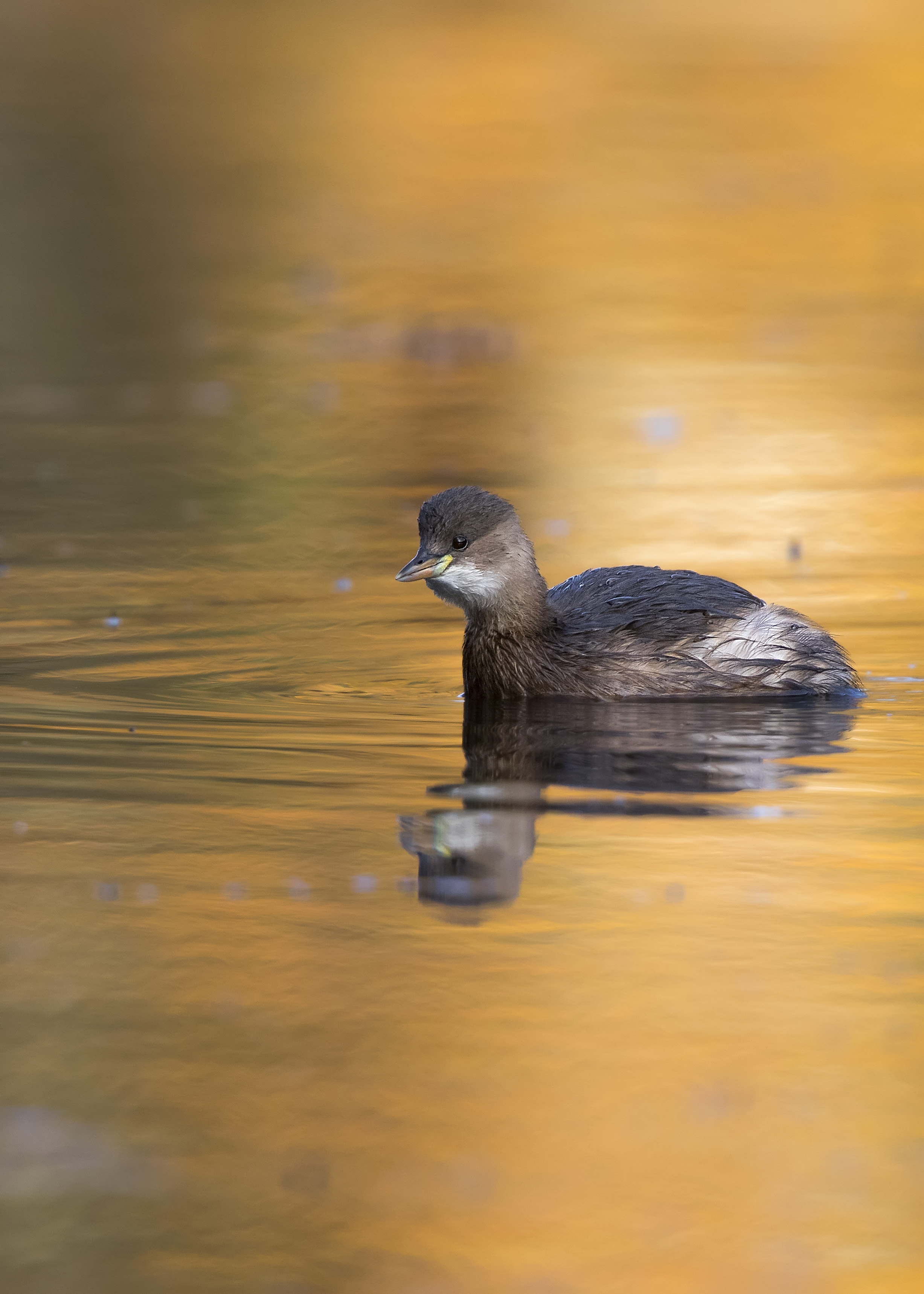 Little Grebe Golden Water 17th November.jpg