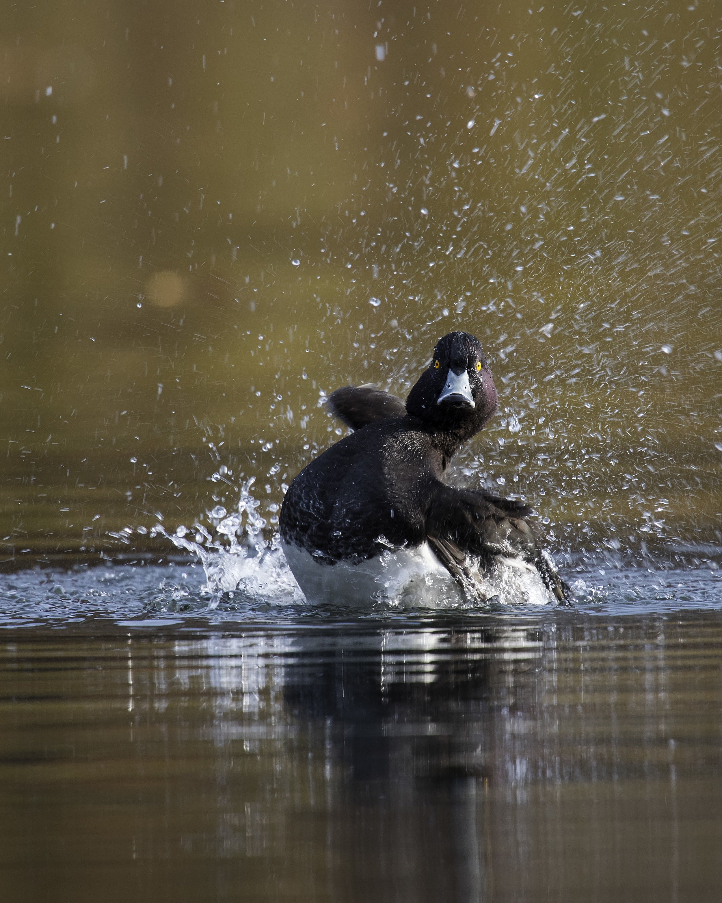 Tufted Duck Cropped 17th November.jpg