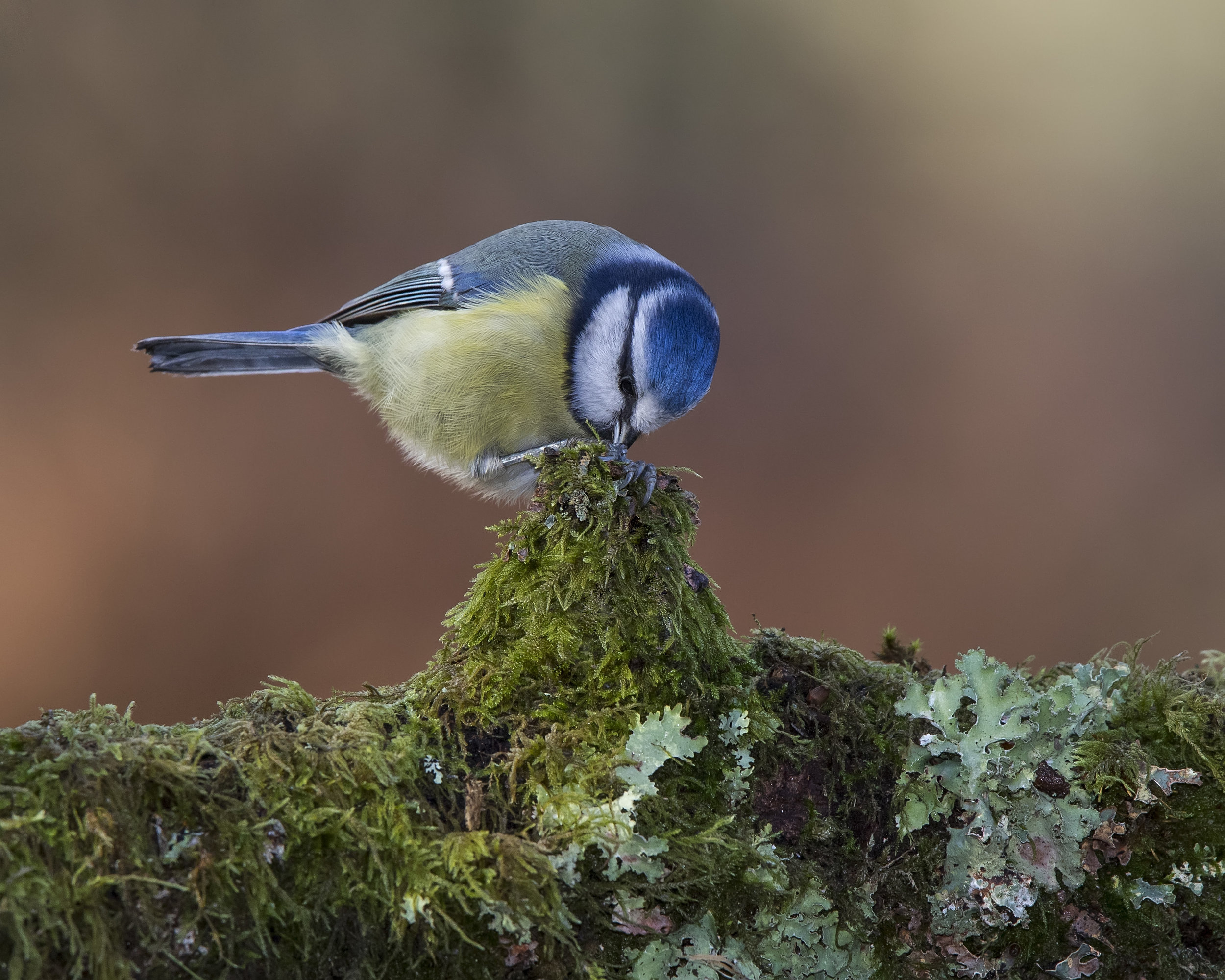 Blue Tit 17th November.jpg
