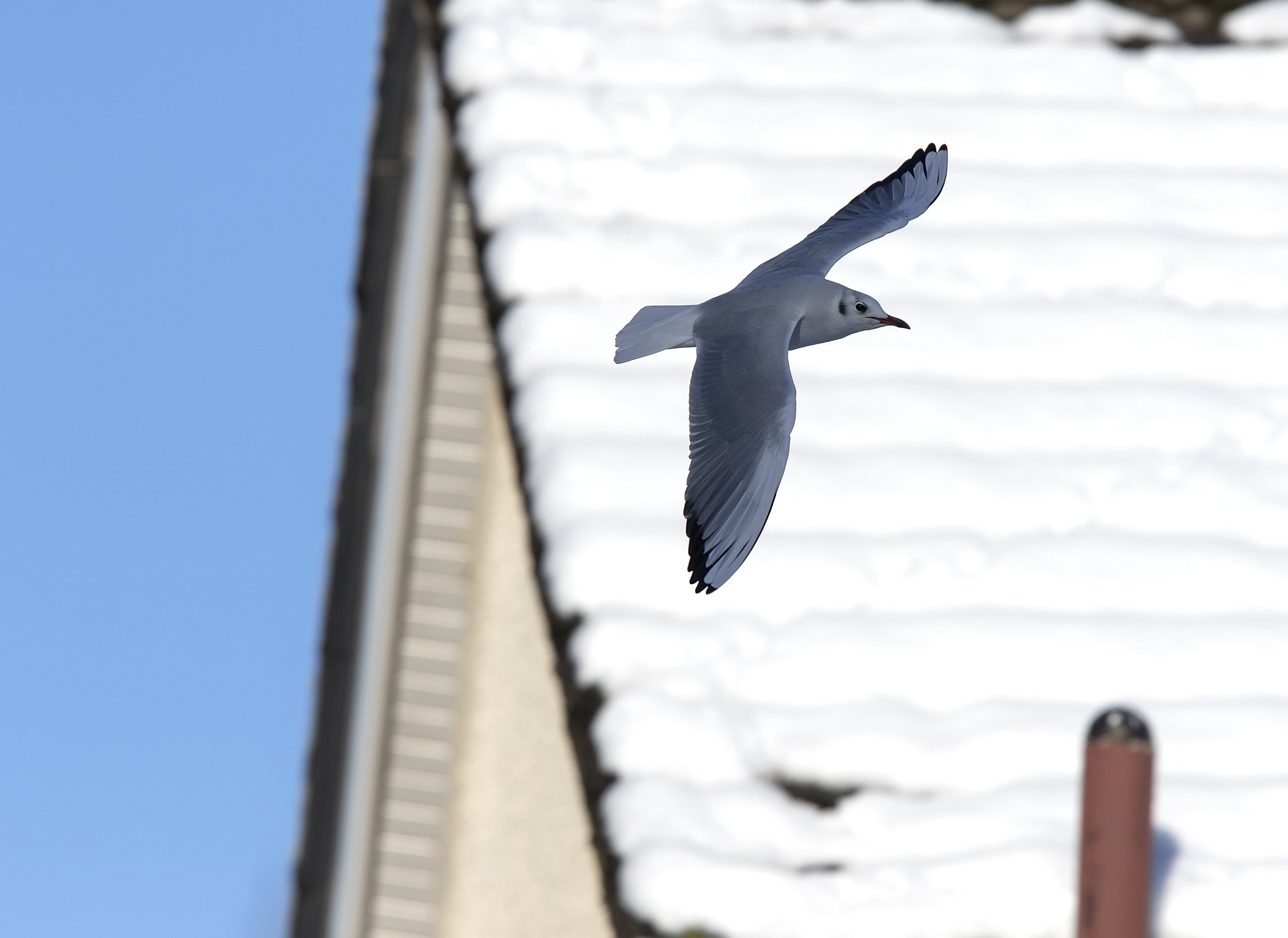 Black-headed Gull Flight 11th December.jpg