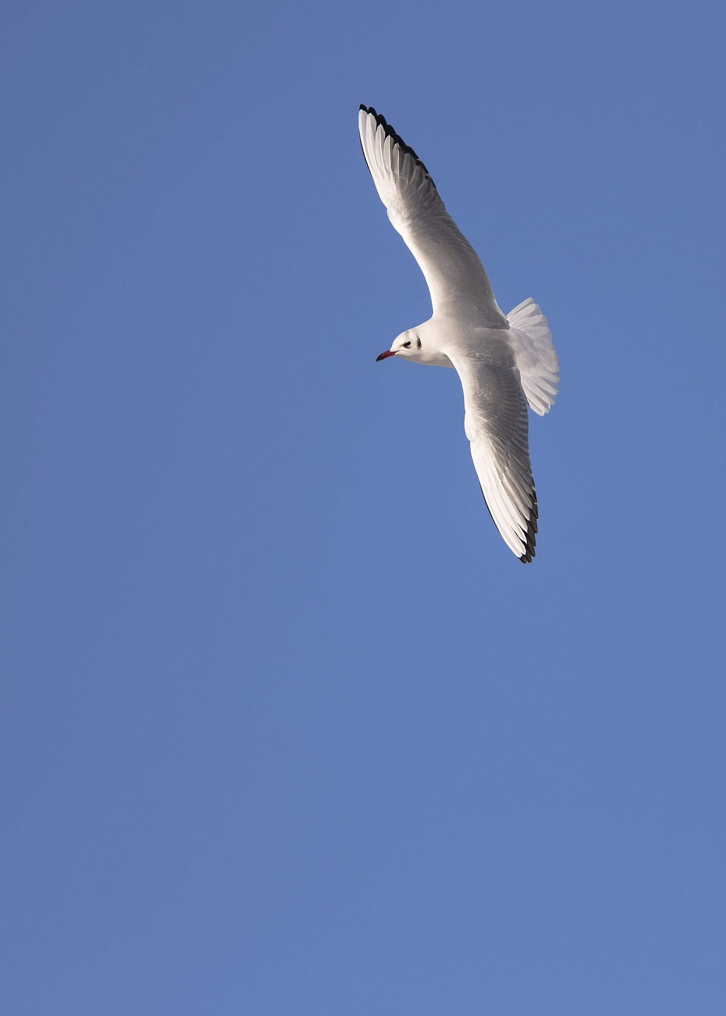 Black-headed Gull Snow Sun 11th December.jpg