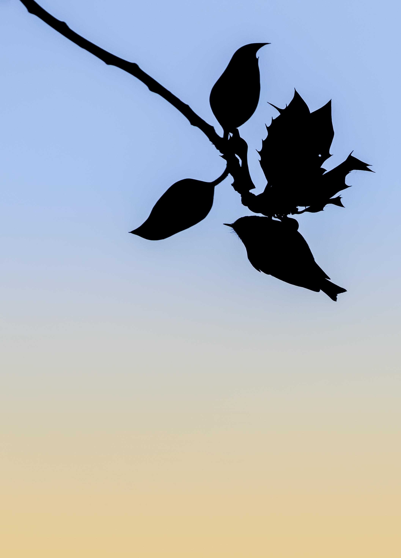 Goldcrest Leaf 18th December.jpg