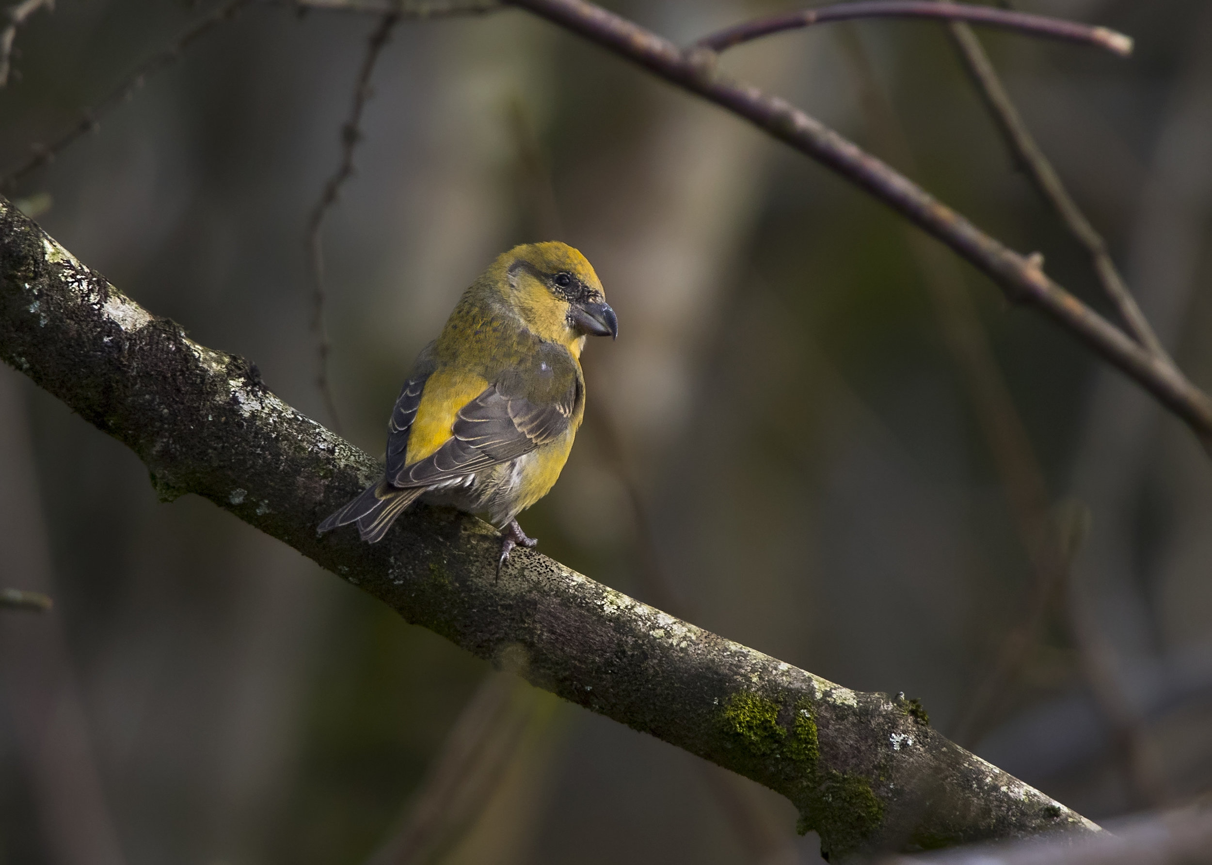 Female Crossbill 10th November.jpg