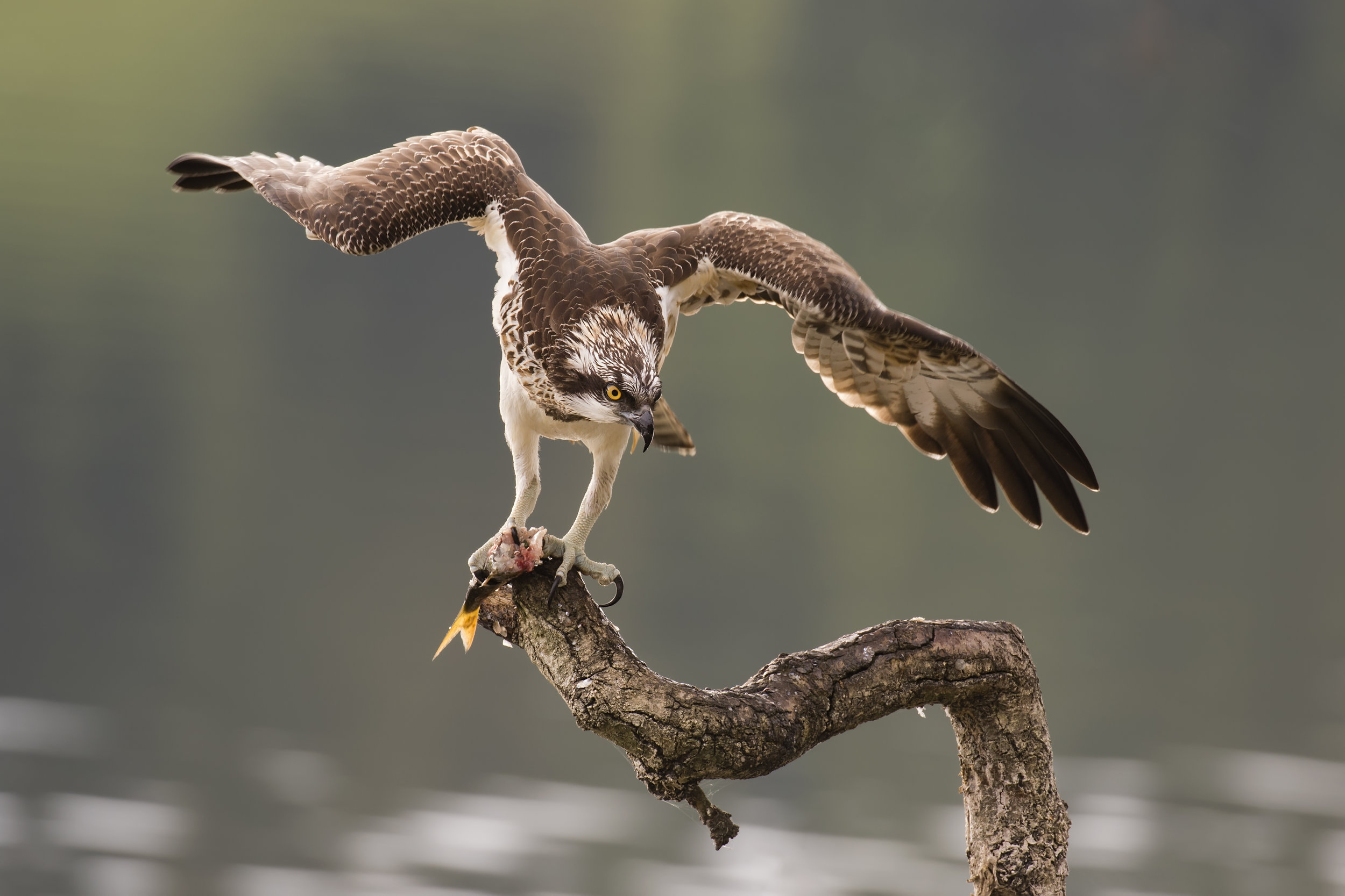 Favourite Osprey Image FF 22nd October.jpg