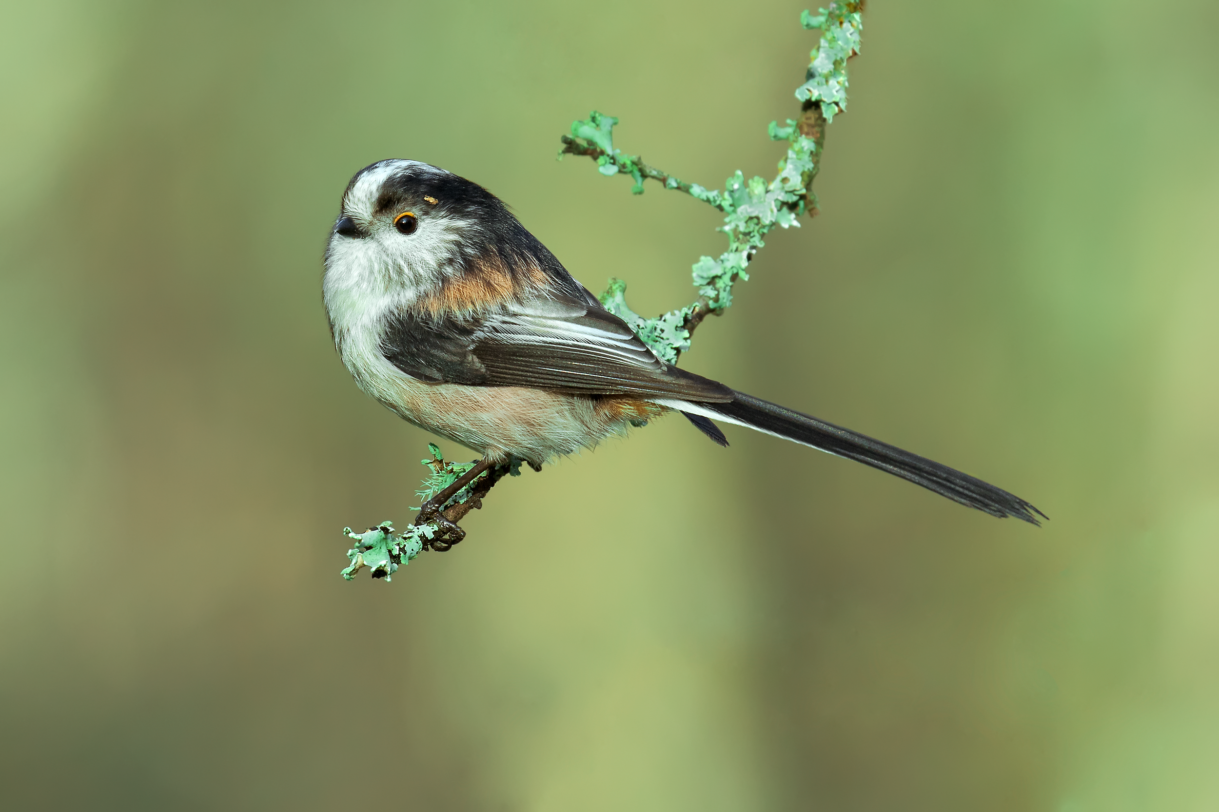 Long-tailed Tit 29th December.png