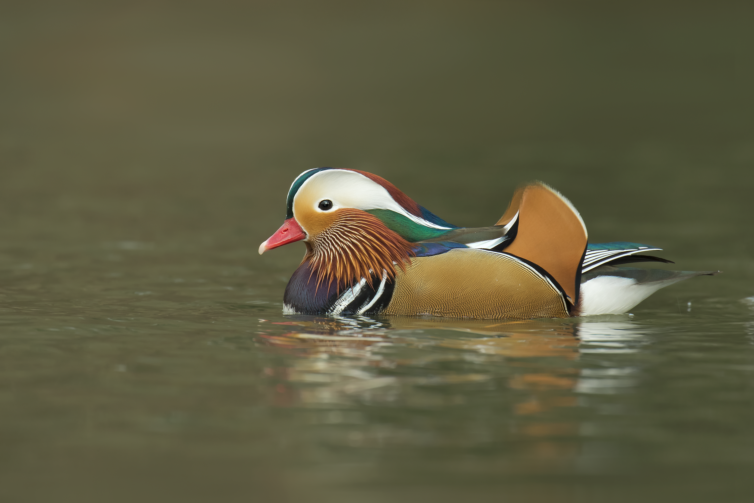 Male Mandarin 14th January.png
